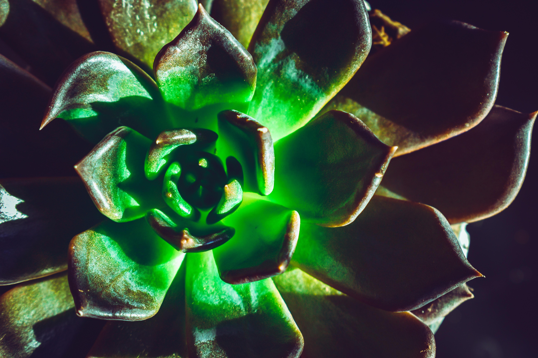 Free Images 4k Wallpaper Close Up Echeveria Glow