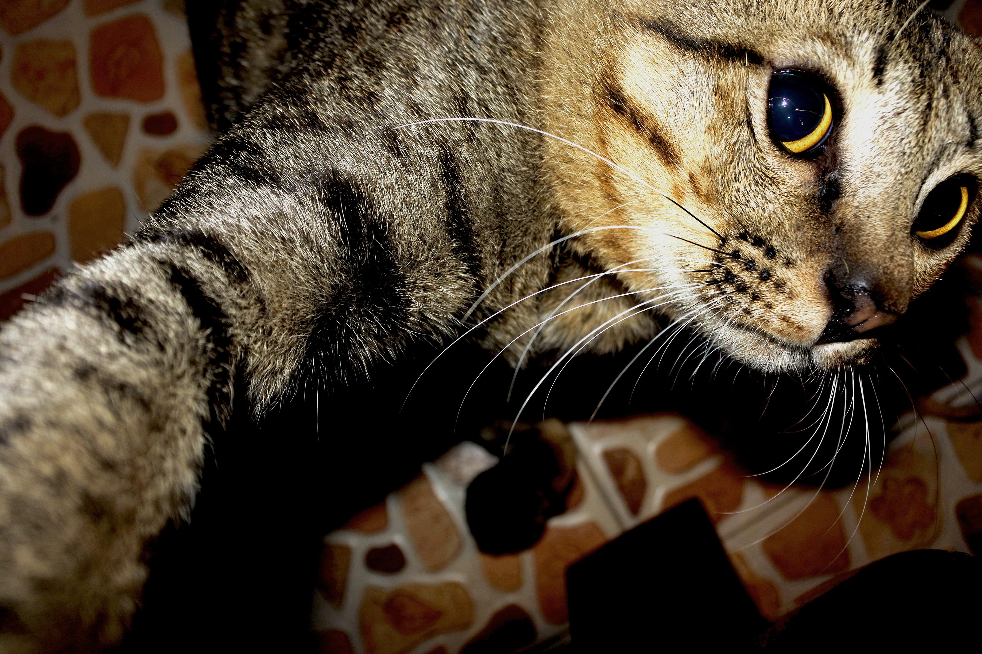 Download 96+  Gambar Kucing Emas Terbaik