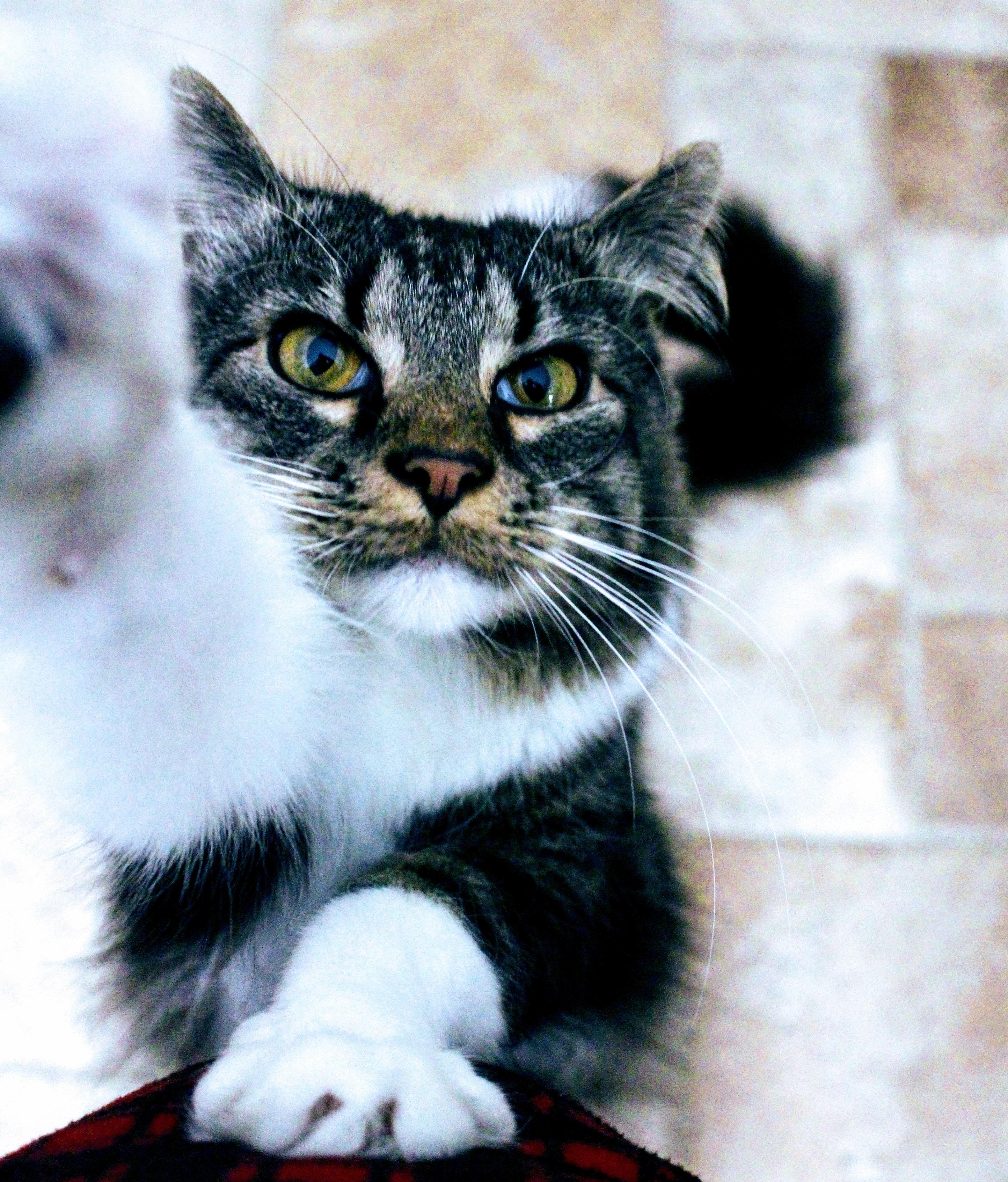 chlpatý čierna mačička dievča