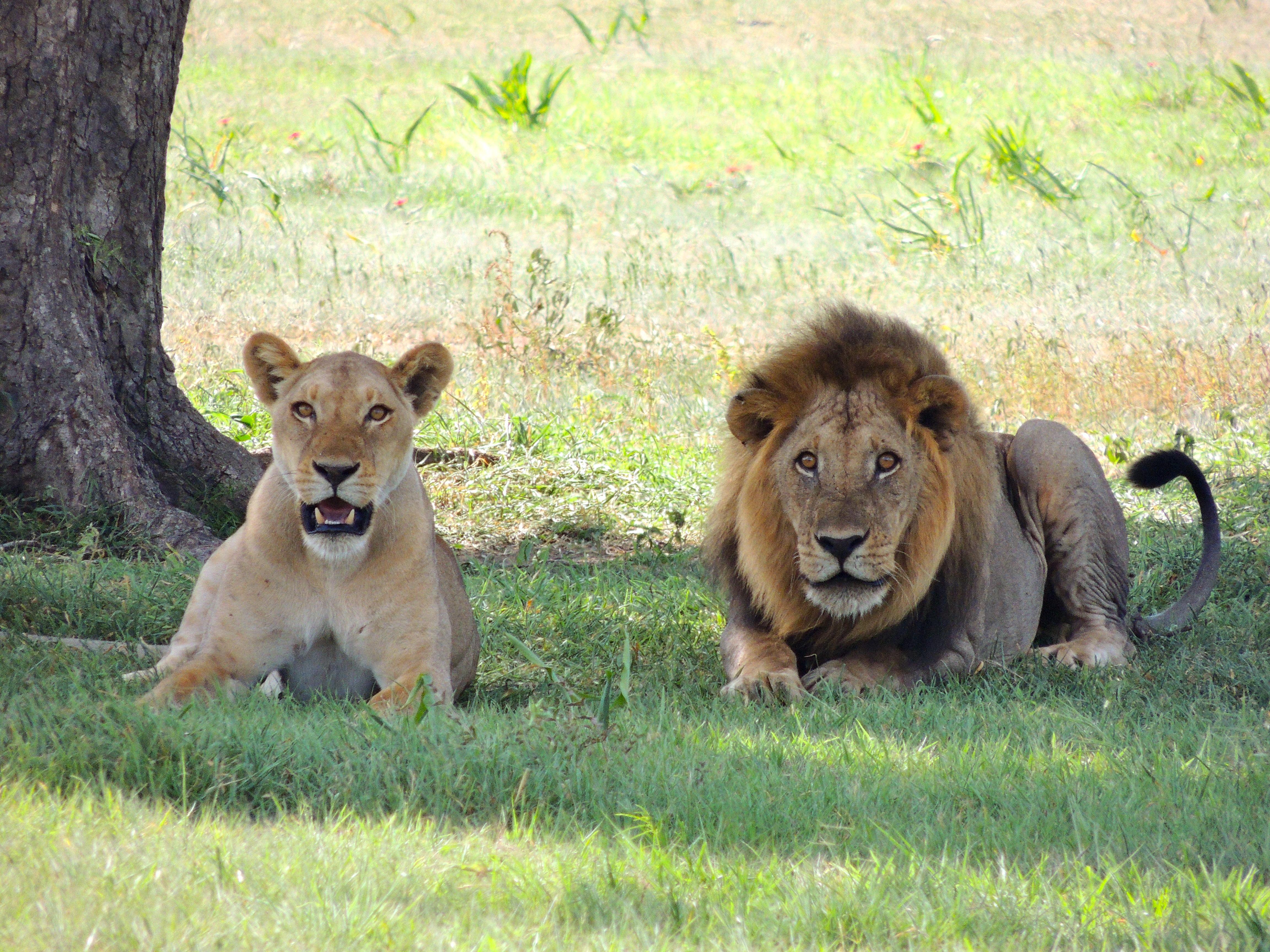 Images gratuites aventure animal m le faune zoo - Photos de lions gratuites ...