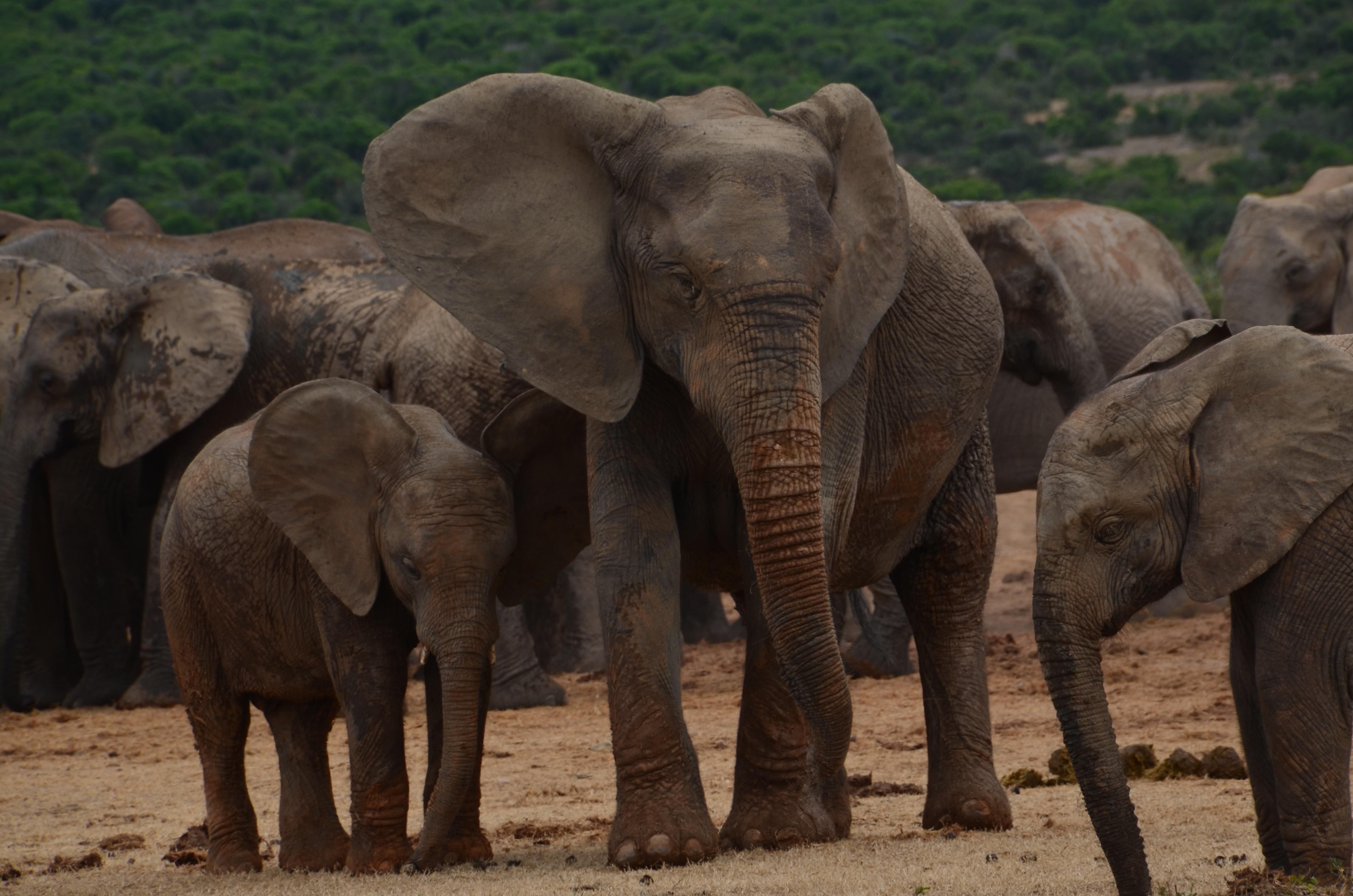 Images gratuites aventure troupeau afrique mammif re savane l phant animal sauvage - Photos d elephants gratuites ...