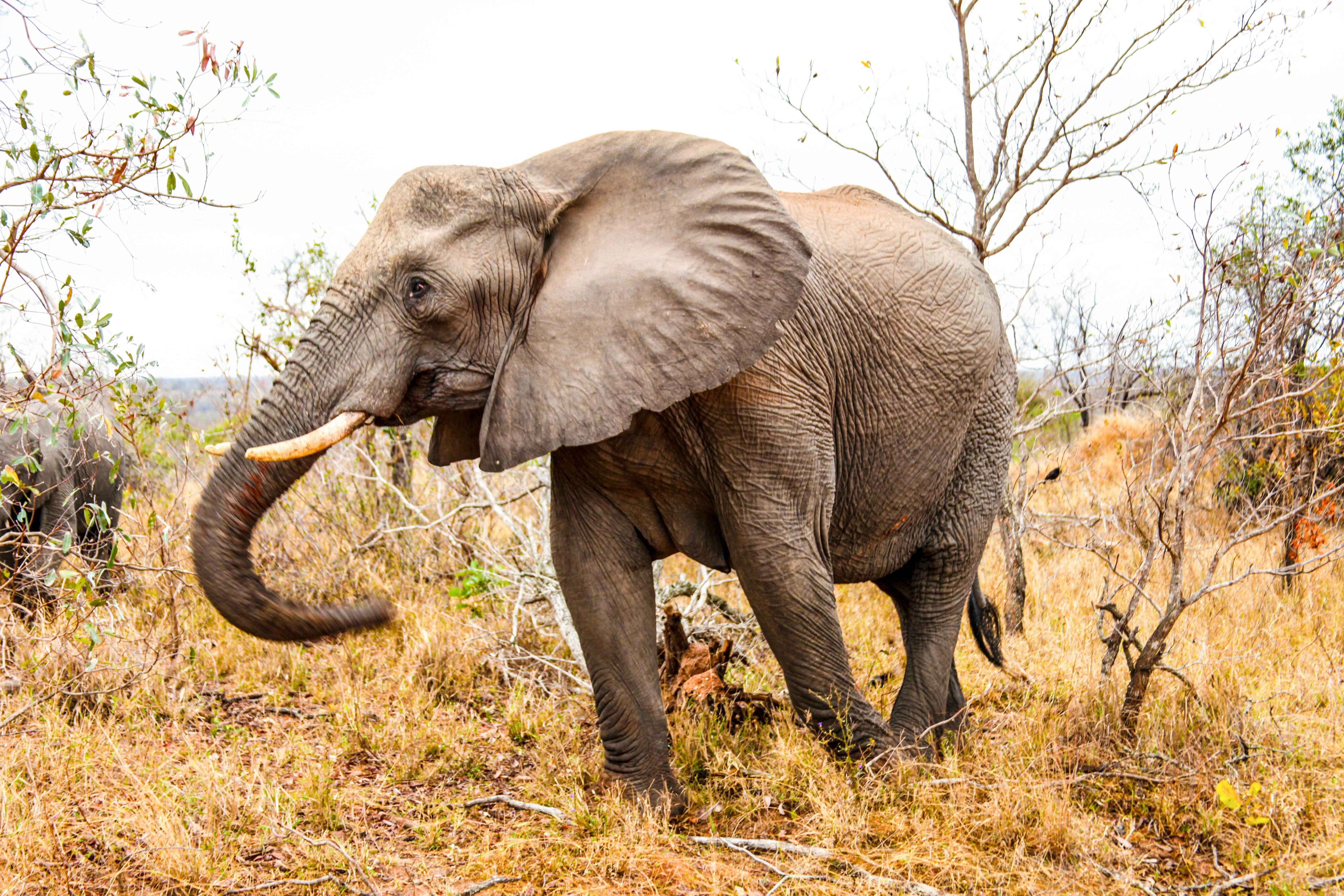 Images gratuites aventure faune mammif re savane l phant vert br safari l phant - Photos d elephants gratuites ...