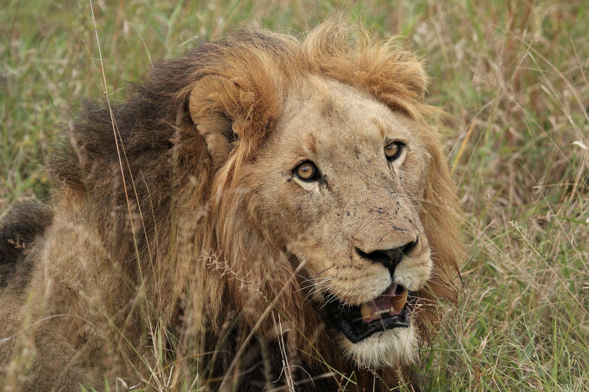 Лев подмигивает картинка