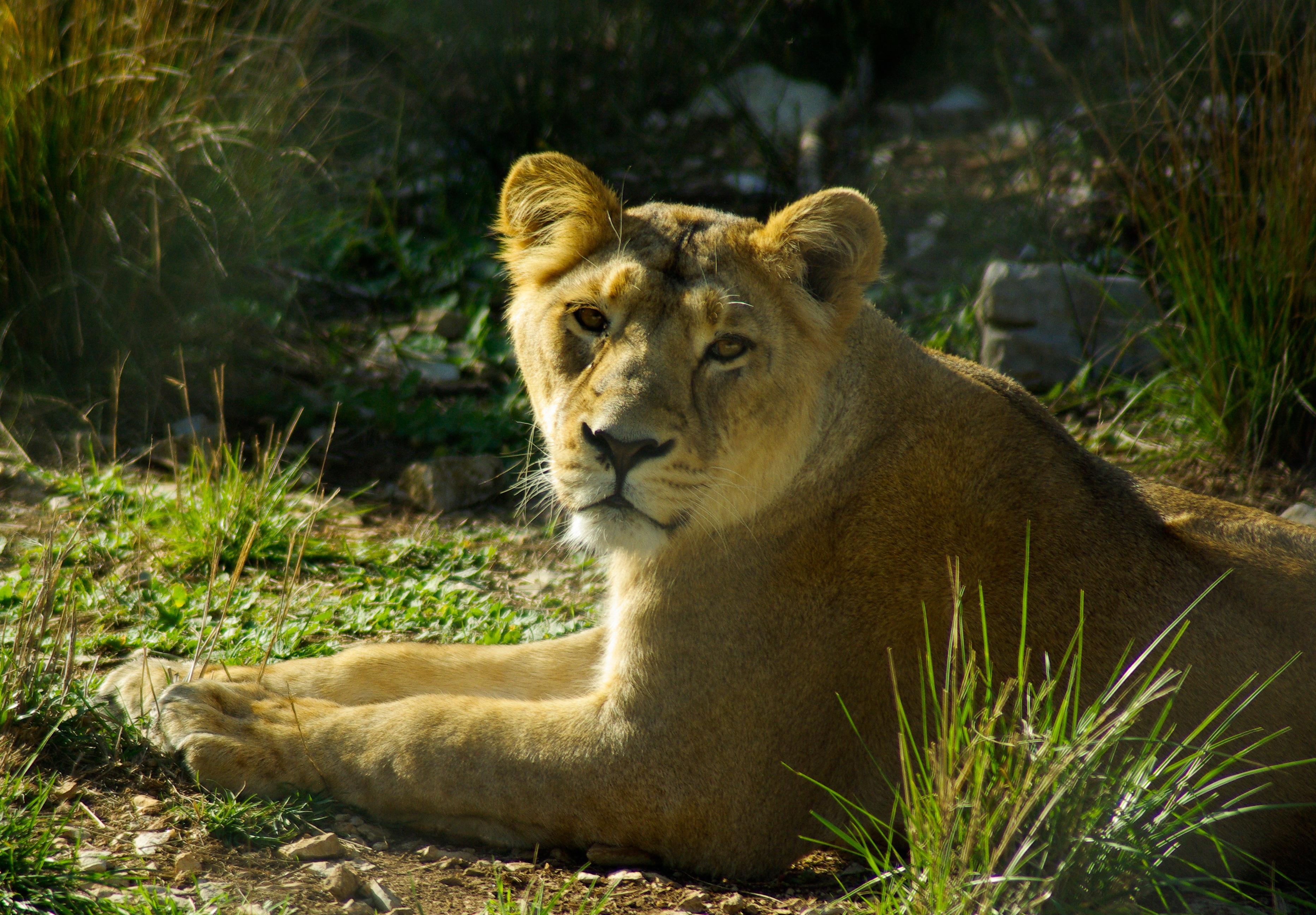 Images gratuites aventure faune zoo afrique f lin - Photos de lions gratuites ...