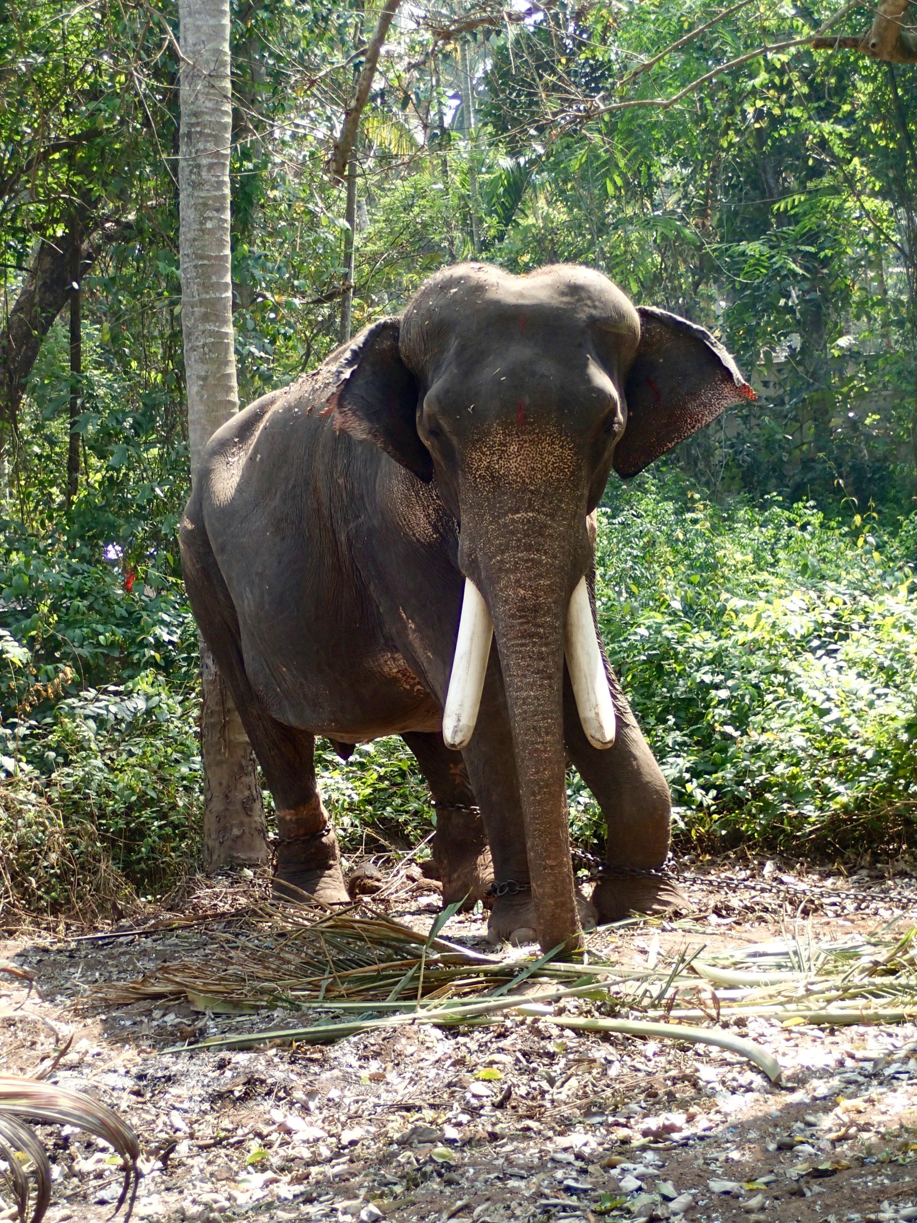 Images gratuites aventure faune zoo jungle p turage mammif re l phant inde safari - Photos d elephants gratuites ...