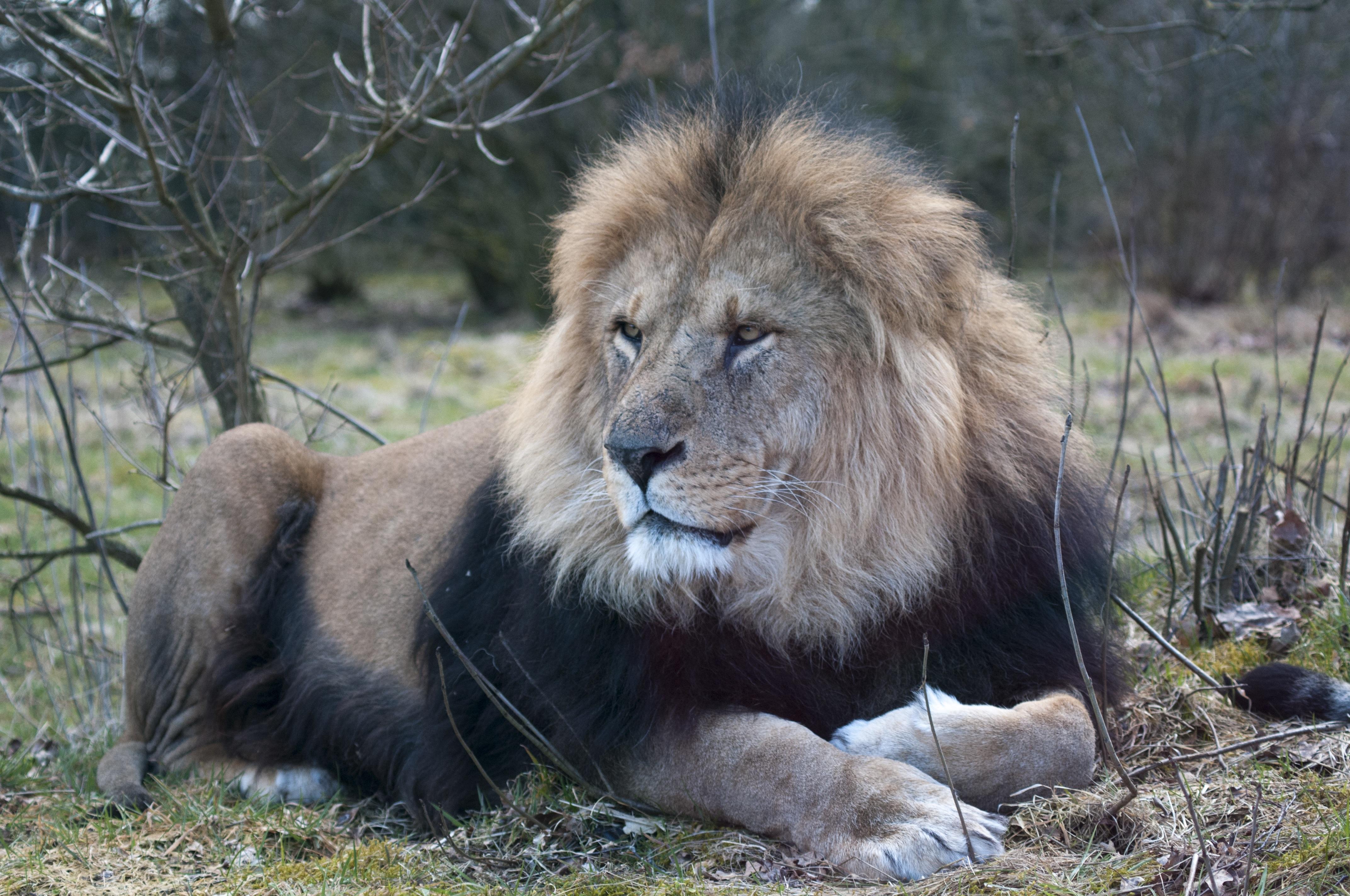 Free adventure wildlife zoo mane fauna vertebrate
