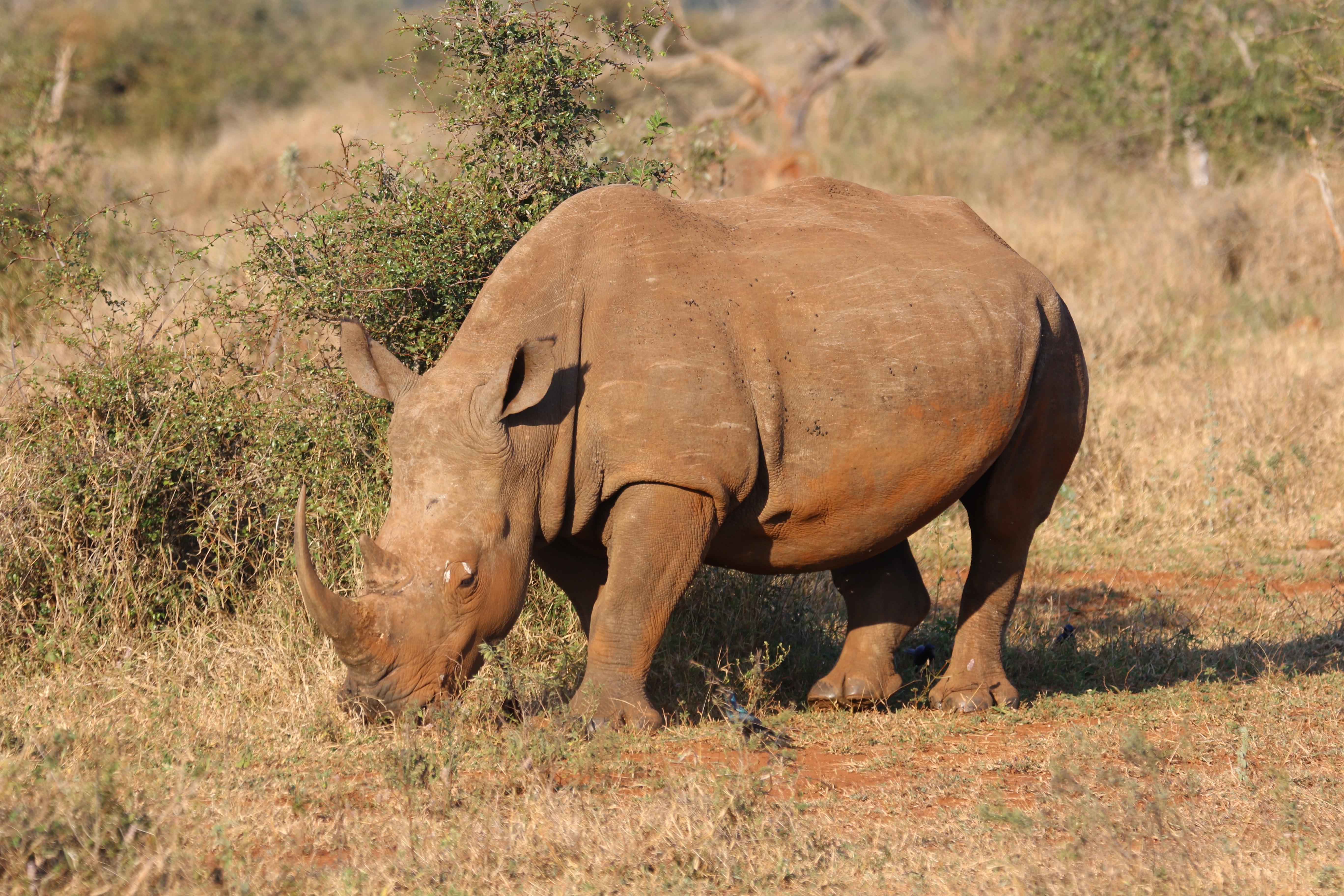 Gambar Afrika Hewan Biadab Semak Makanan Gajah Terancam