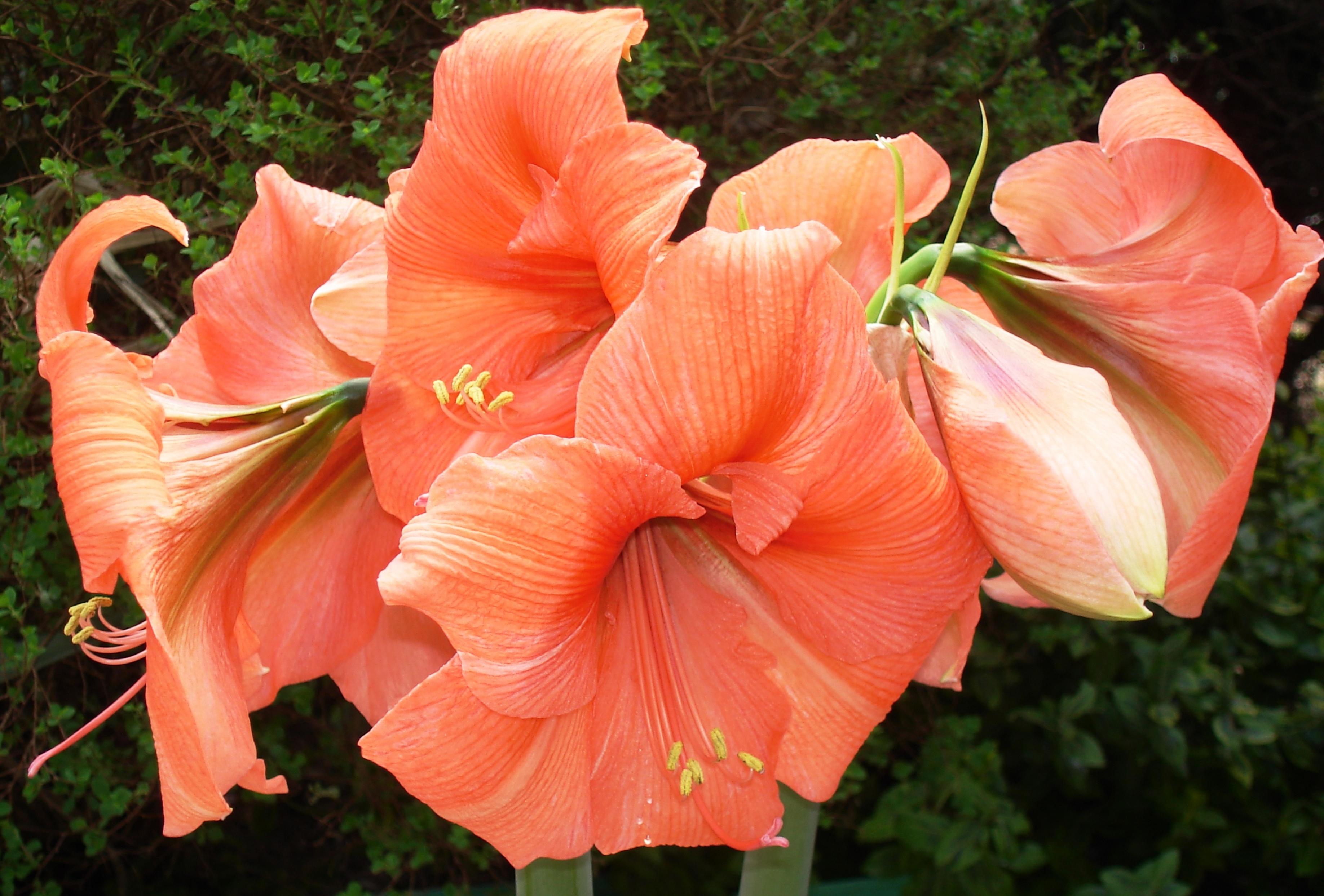 Free Images Flower Flowering Plant Pink Flora Amaryllis