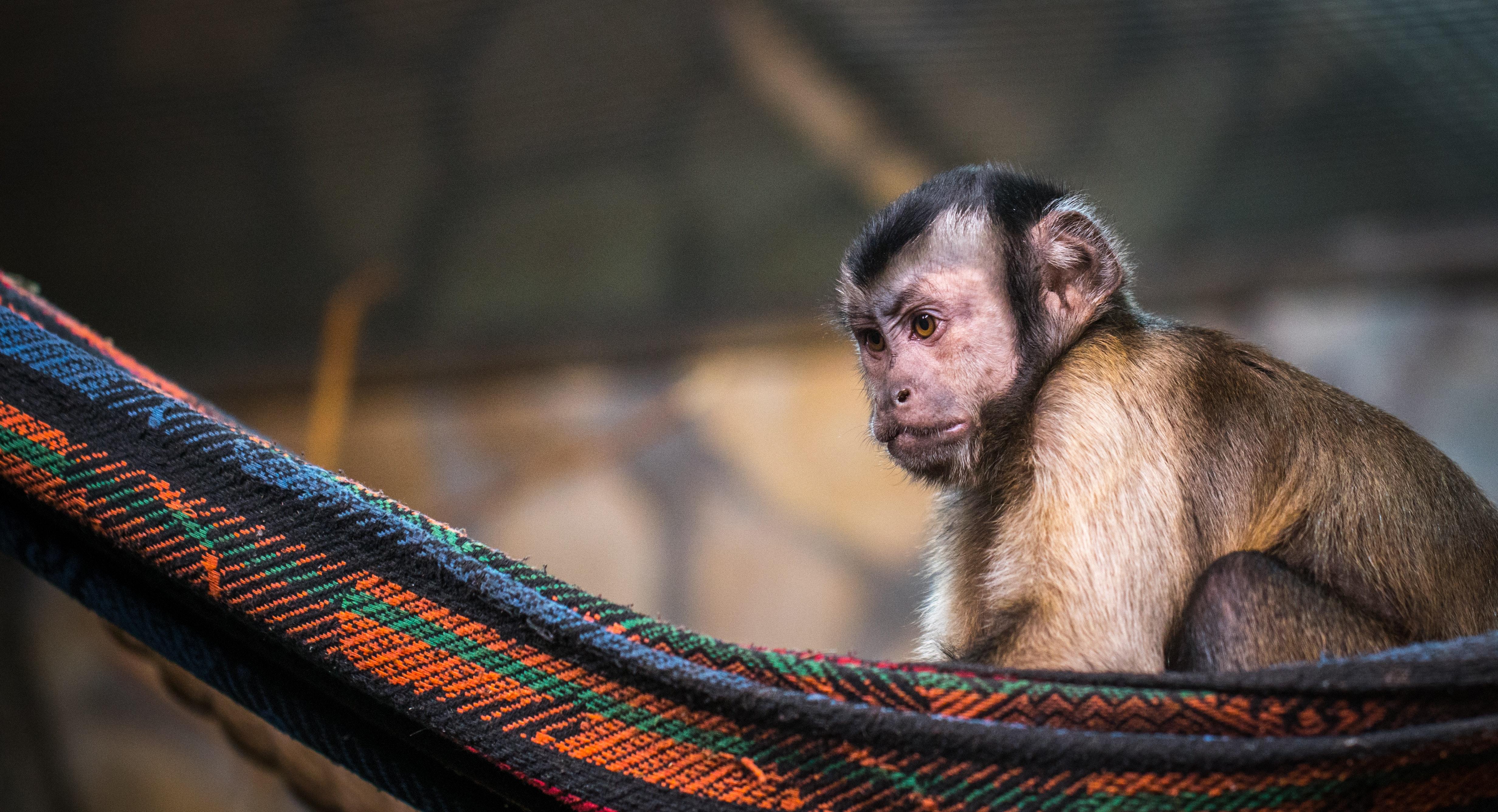 Kostenlose Foto Tier Tierfotografie Affe Baby Verwischen