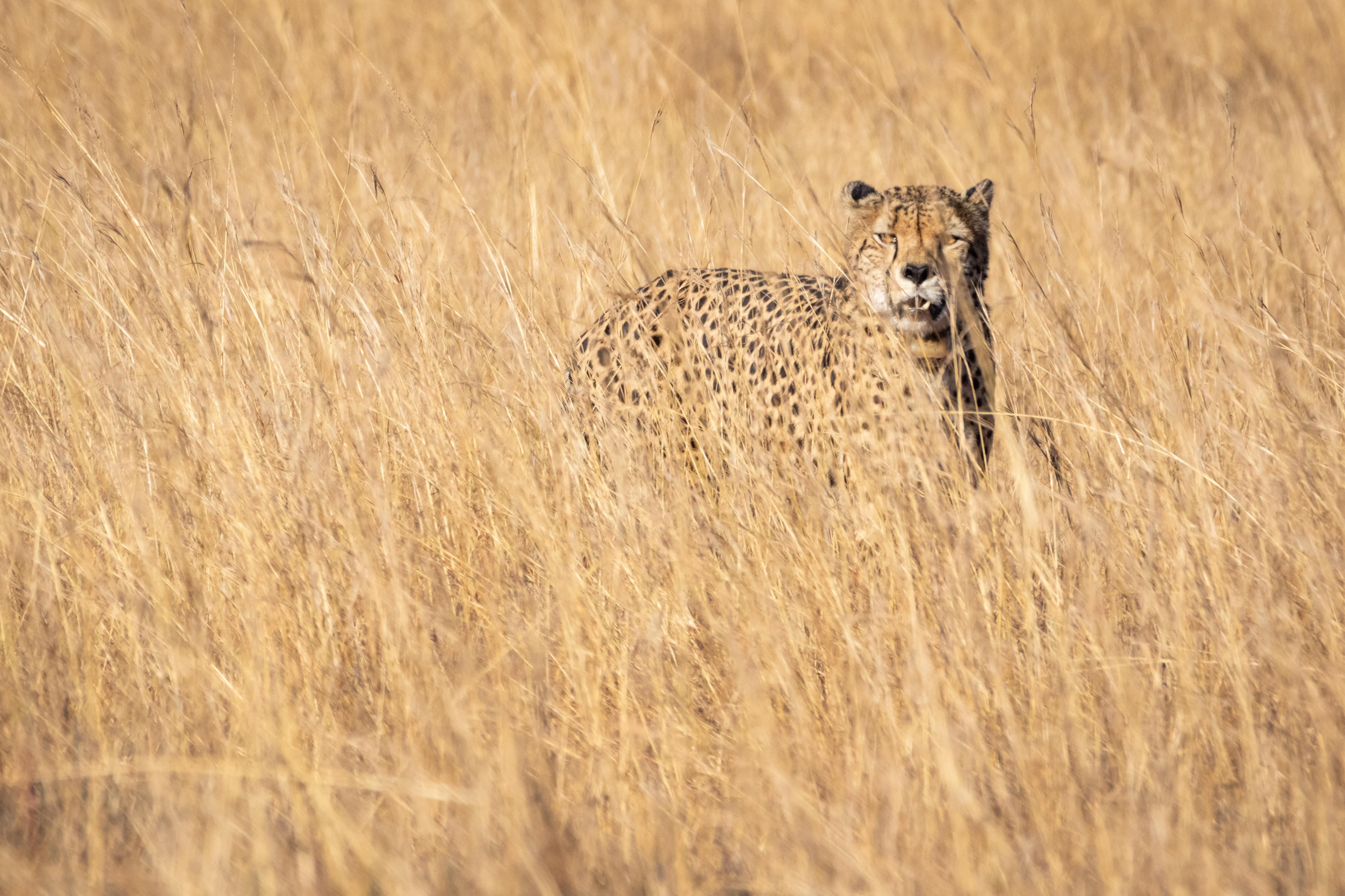 Free Images Animal Photography Big Cat Cheetah