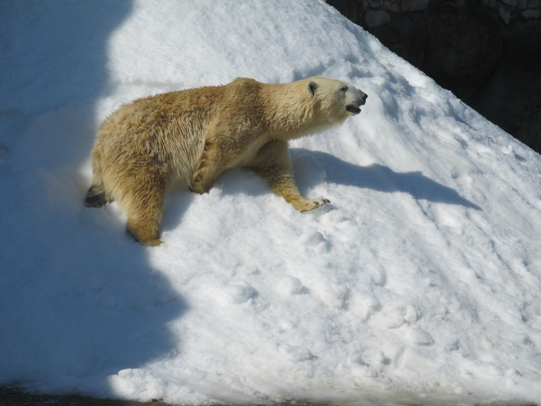 Bildet Dyr Bjørn Dyreliv Dyrehage Pattedyr Fauna Isbjørn