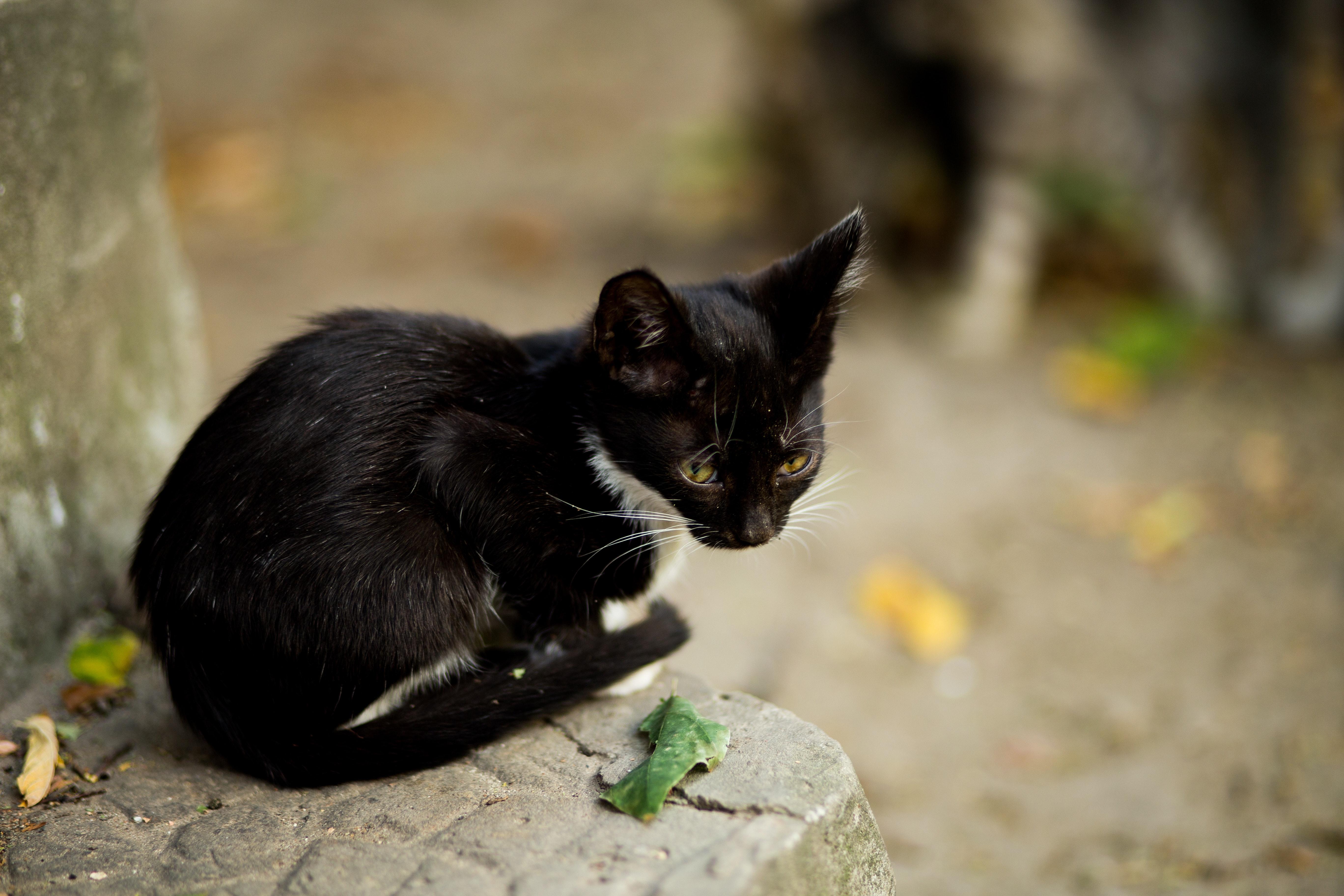 chlpatý chlpatý čierna mačička monštrum kohút Gay video