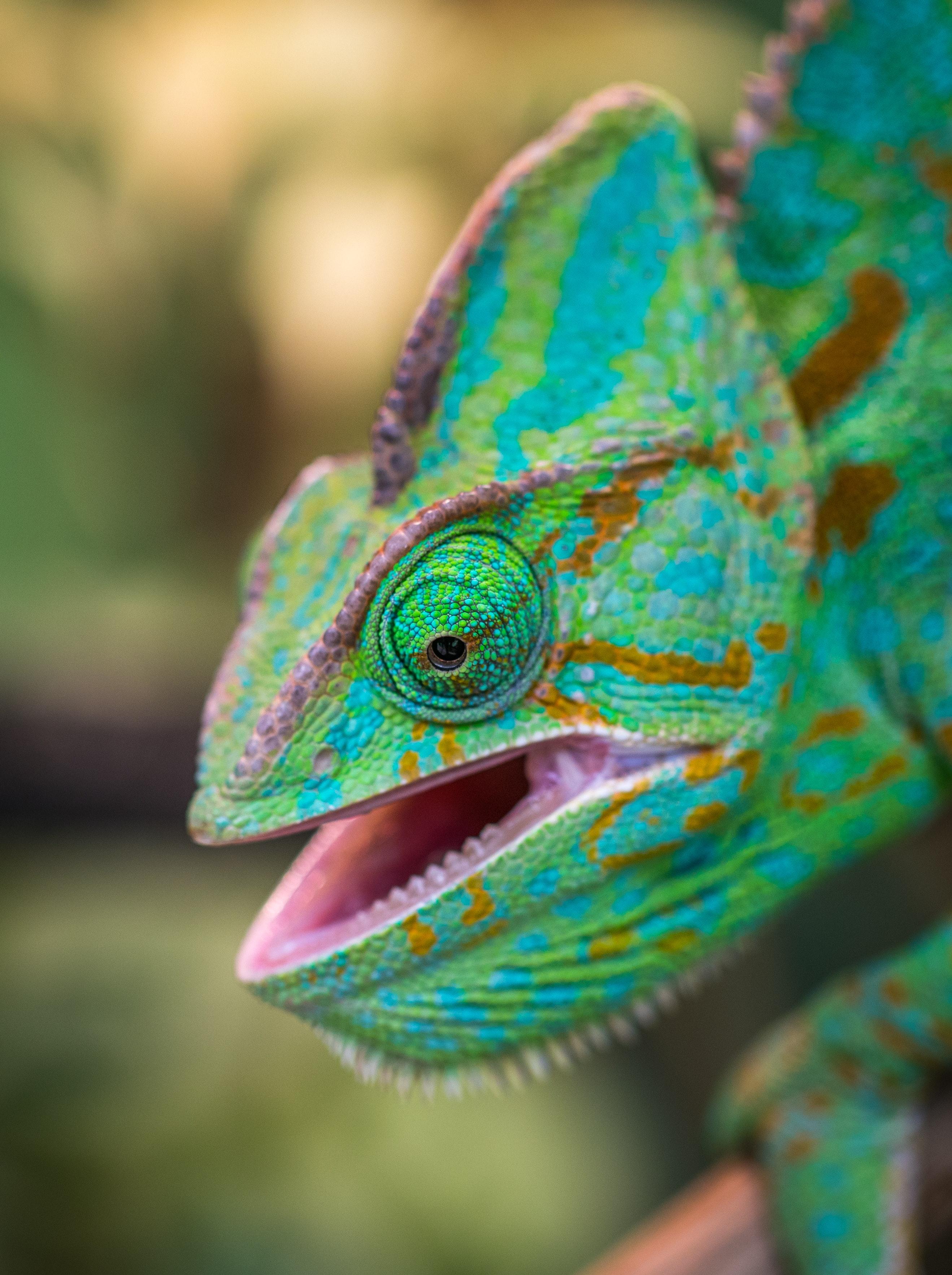 Poze Animal Fundal Neclară Luminos Cameleon Colorat