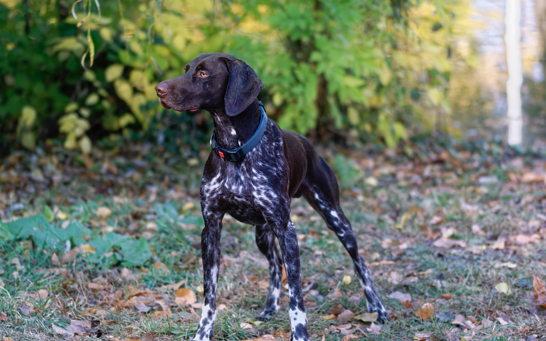 550e3d256338 állat tépőfog aranyos kutya háziállat lehullott levelek talaj vadászkutya  póráz kicsit keres emlős házi kedvenc