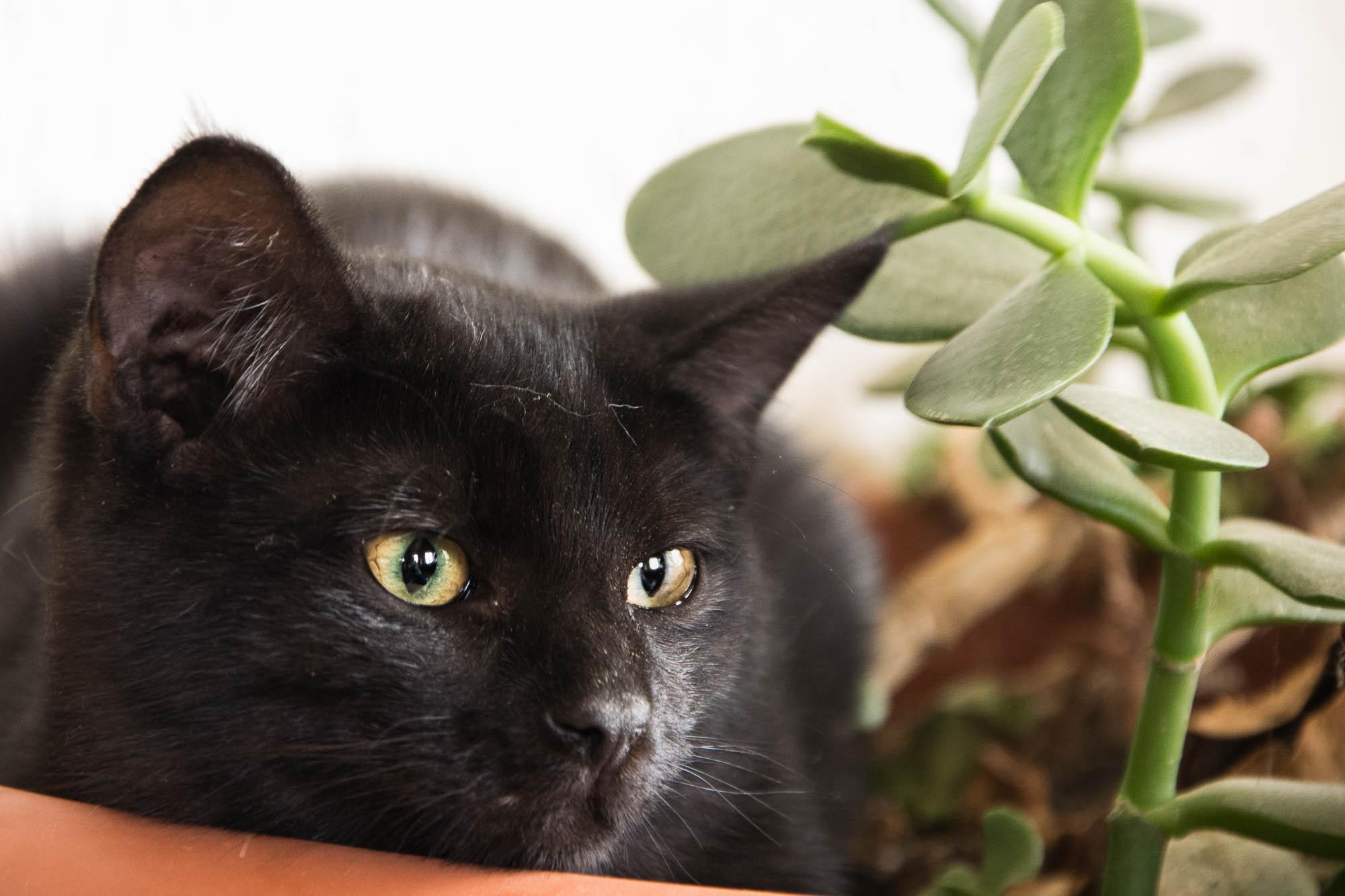 les chats chartreux