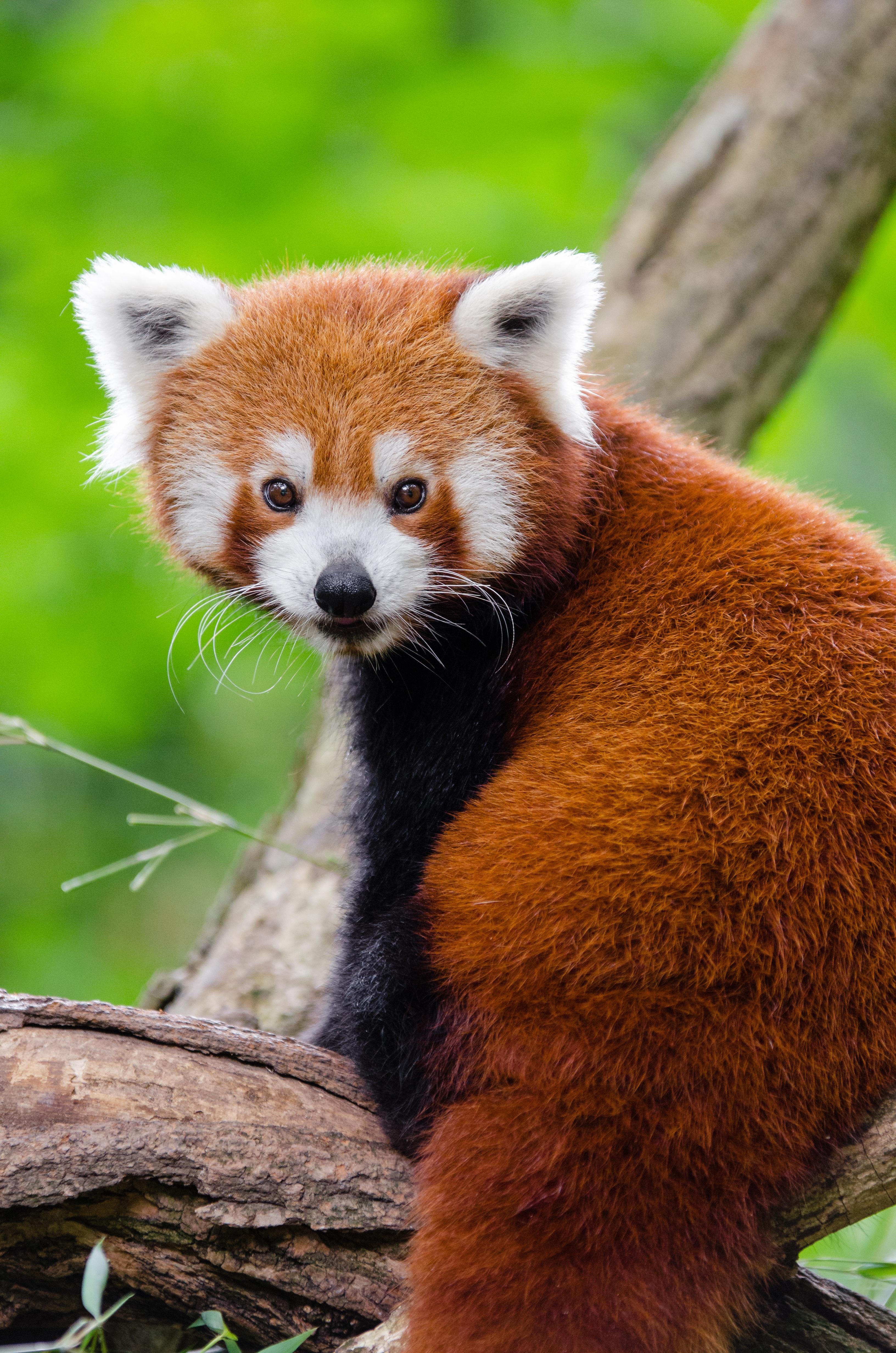 Red Cute Sweet 15 Quinceanera Dresses Img 1099 1st Dress Com: FARK.com: (9749334) Photoshop This Red Panda