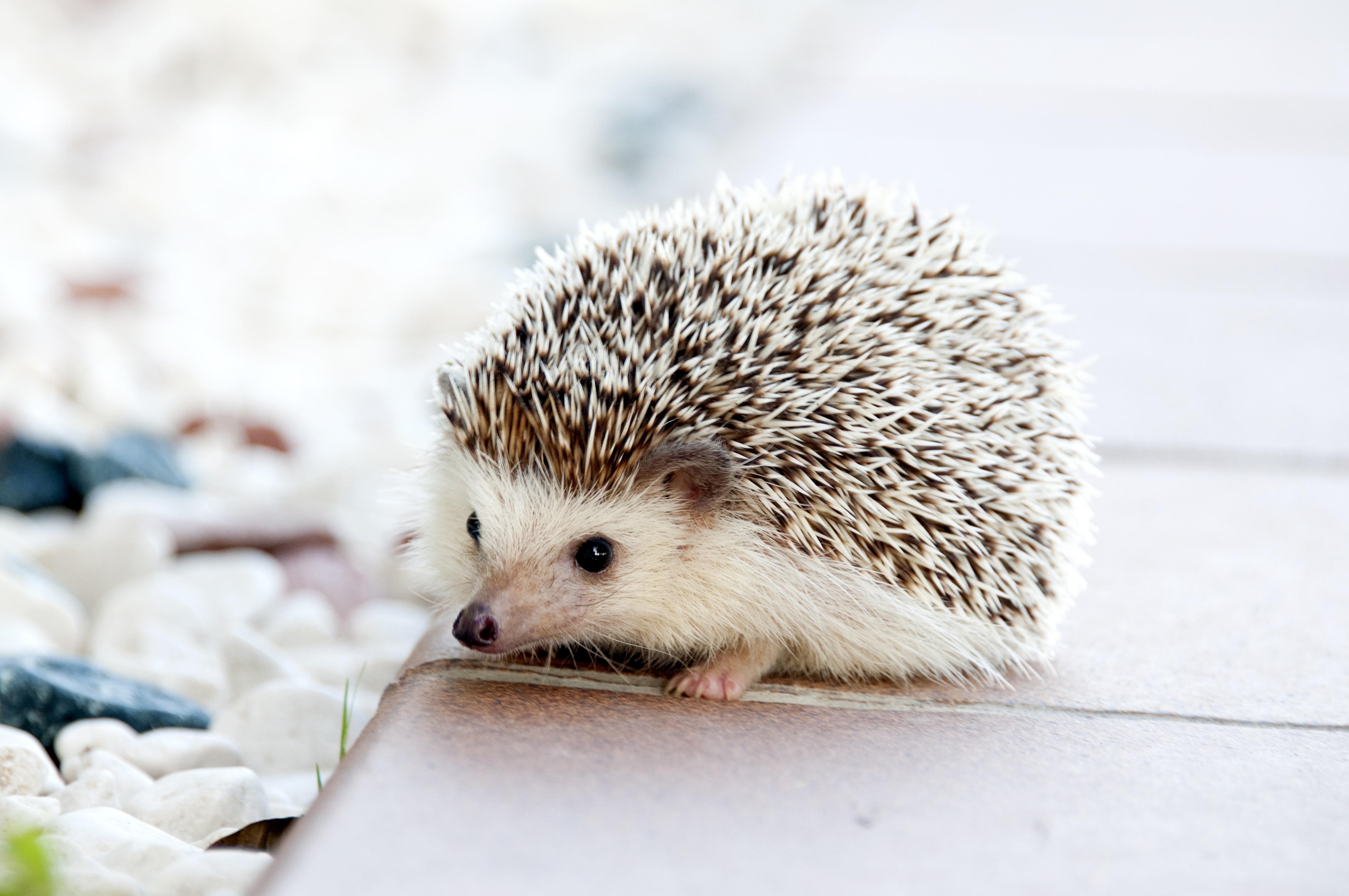 animal cute pet small mammal baby fauna whiskers hedgehog vertebrate erinaceidae domesticated hedgehog