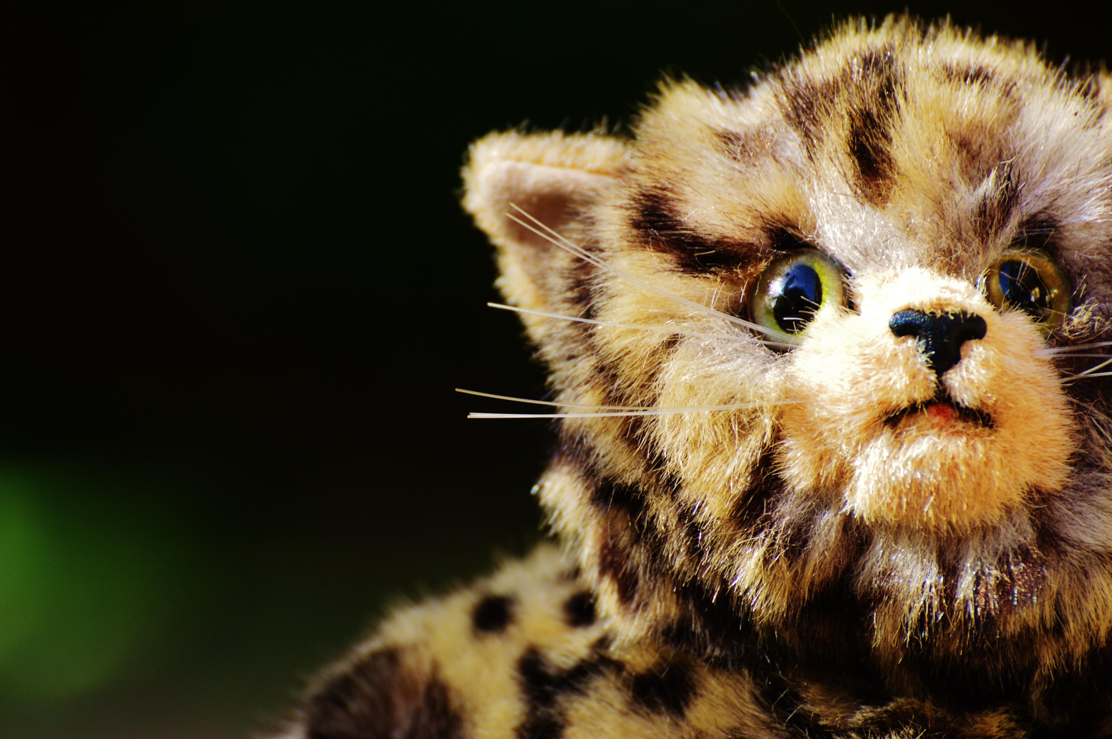 Free Images Cute Wildlife Kitten Fauna Teddy Bear Close Up