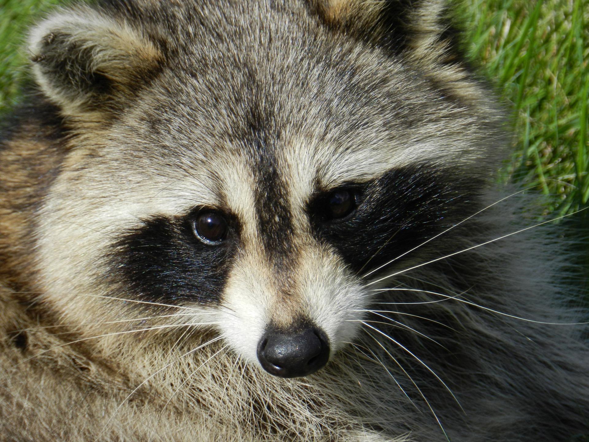 Free Images : animal, cute, wildlife, portrait, mammal ...