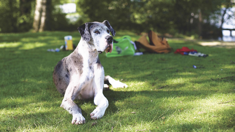 great dane dog images download