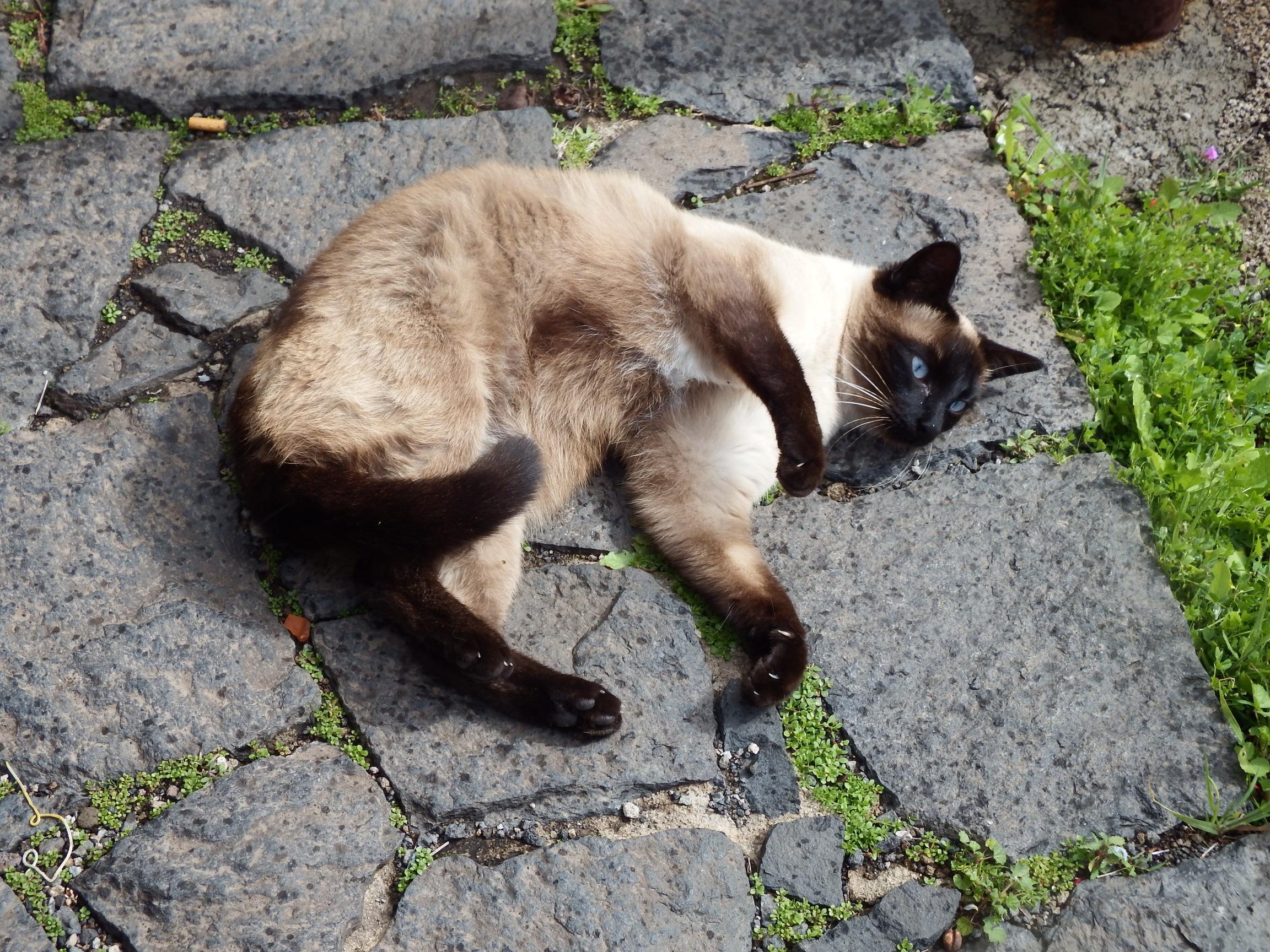 Color cats like - Animal Fur Cat Brown Mammal Cozy Blue Fauna Eyes Stones Vertebrate Siamese Cat Sand Color Wild