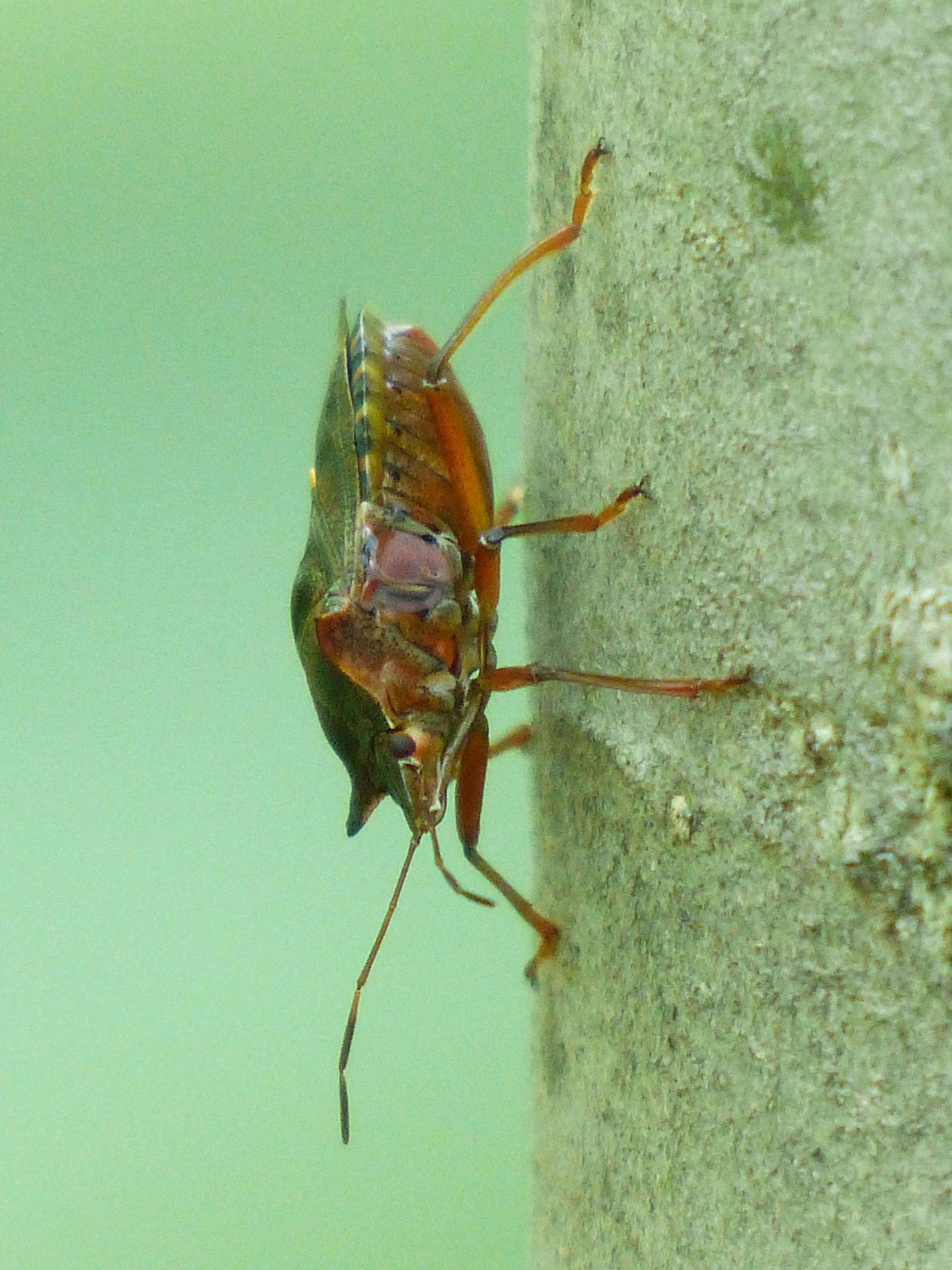 animal insect bug parasite invertebrate pest pentatomidae weevil macro  photography organism arthropod membrane winged insect true