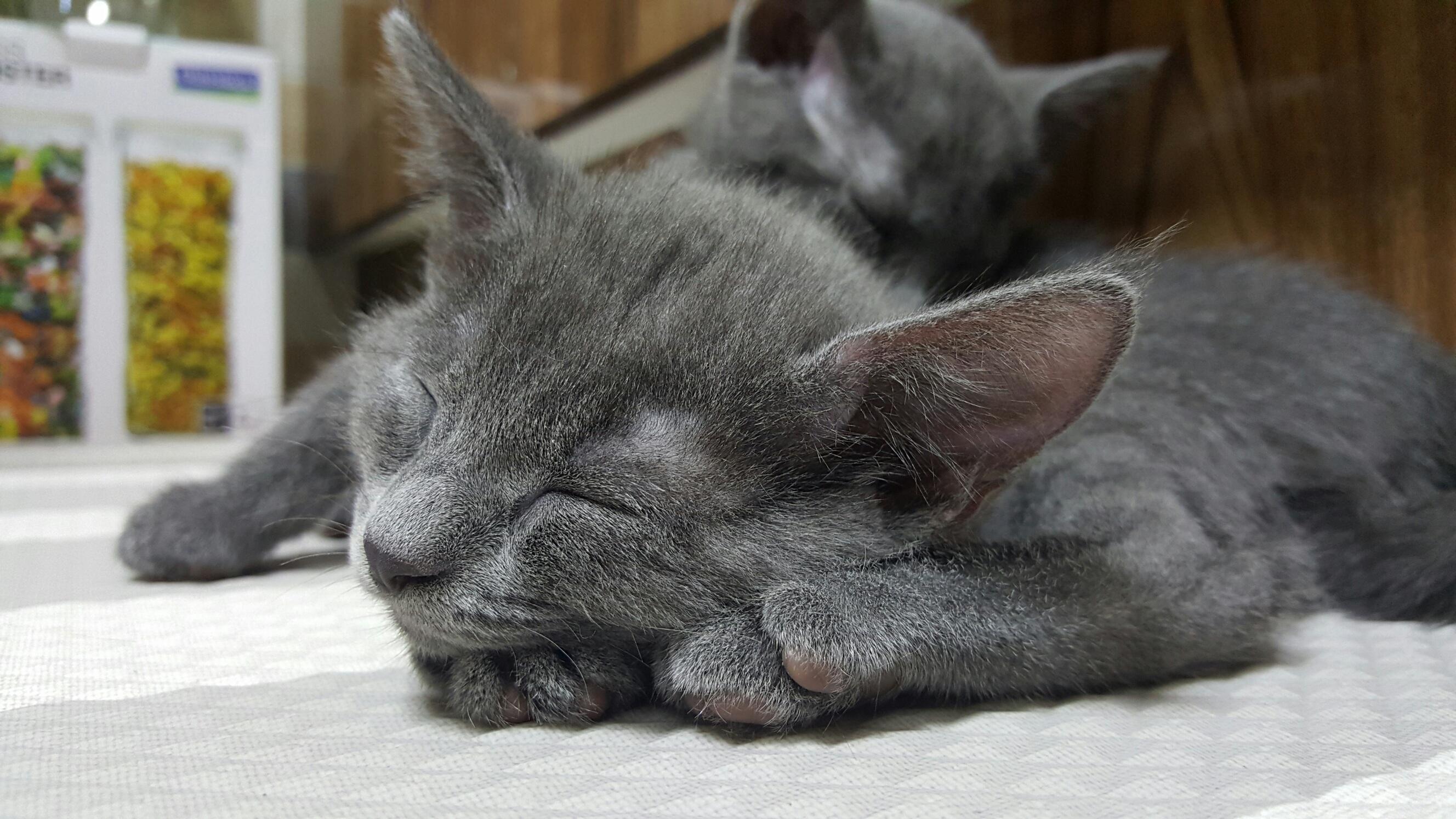 Free animal kitten whiskers kitty little vertebrate