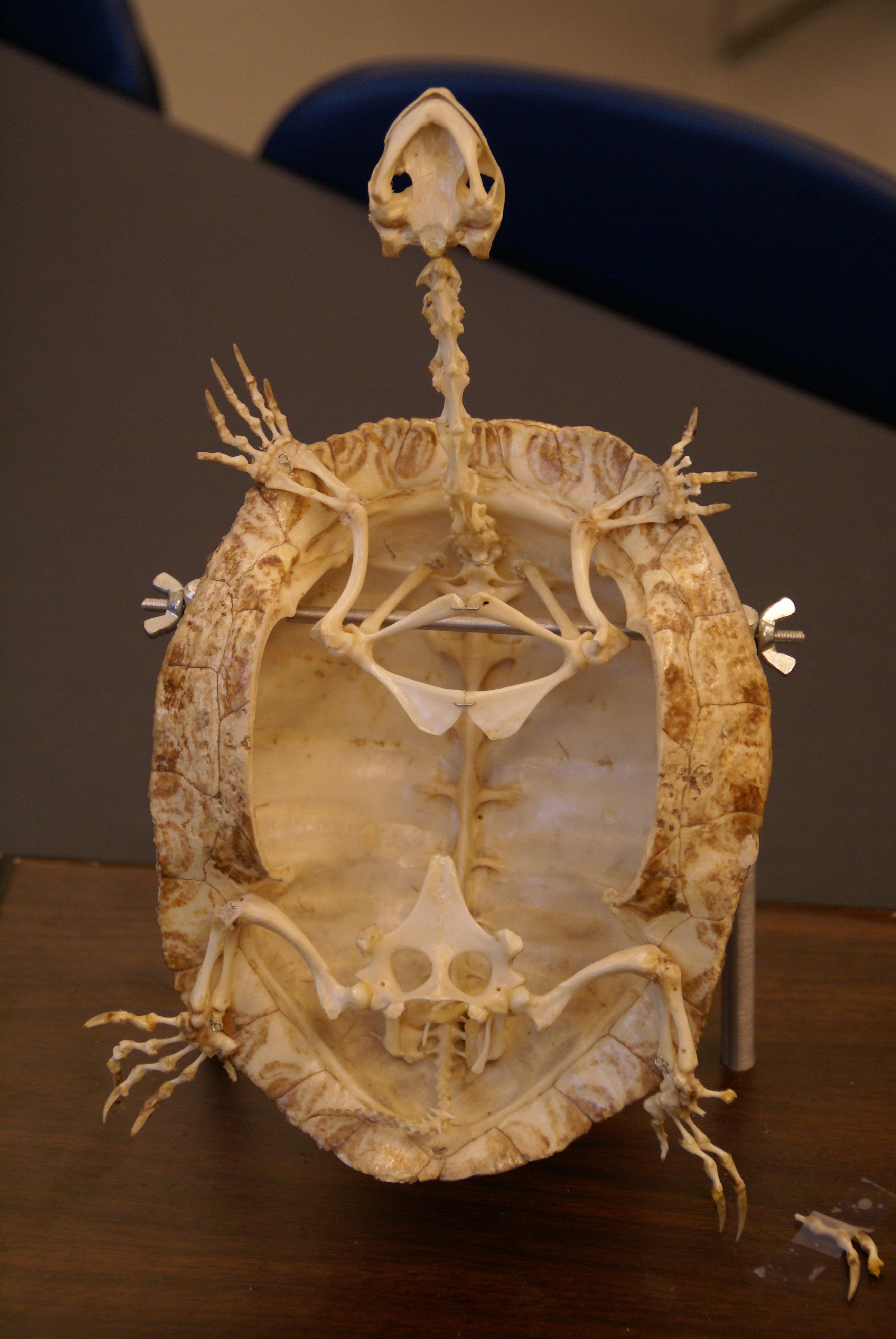 Fotos gratis : animal, macro, biología, Tortuga, reptil, iluminación ...