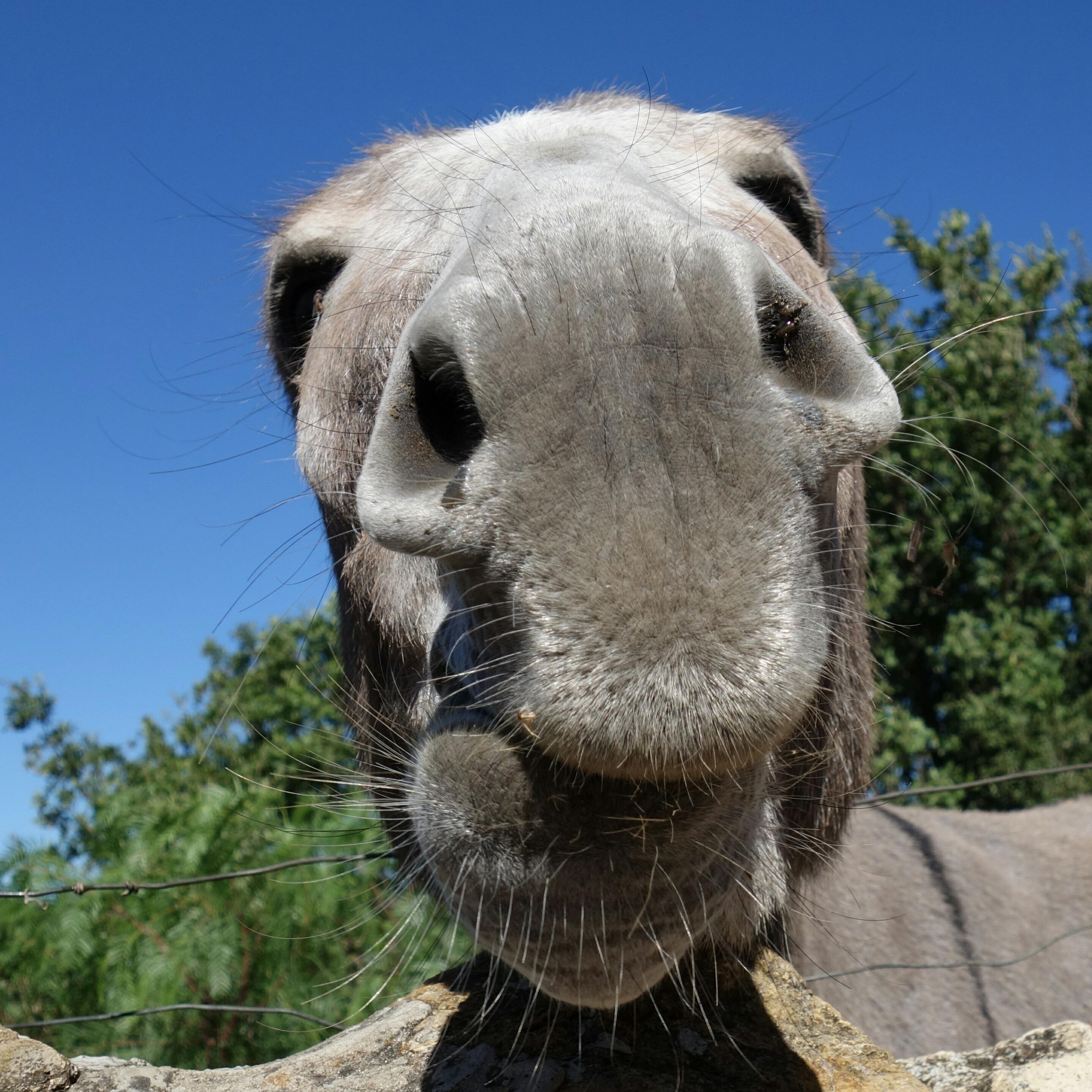 animal mascota camello mamífero melena cerca fauna llama Burro nariz hocico  vertebrado Camello como mamífero Caballo 10cddf95c9f