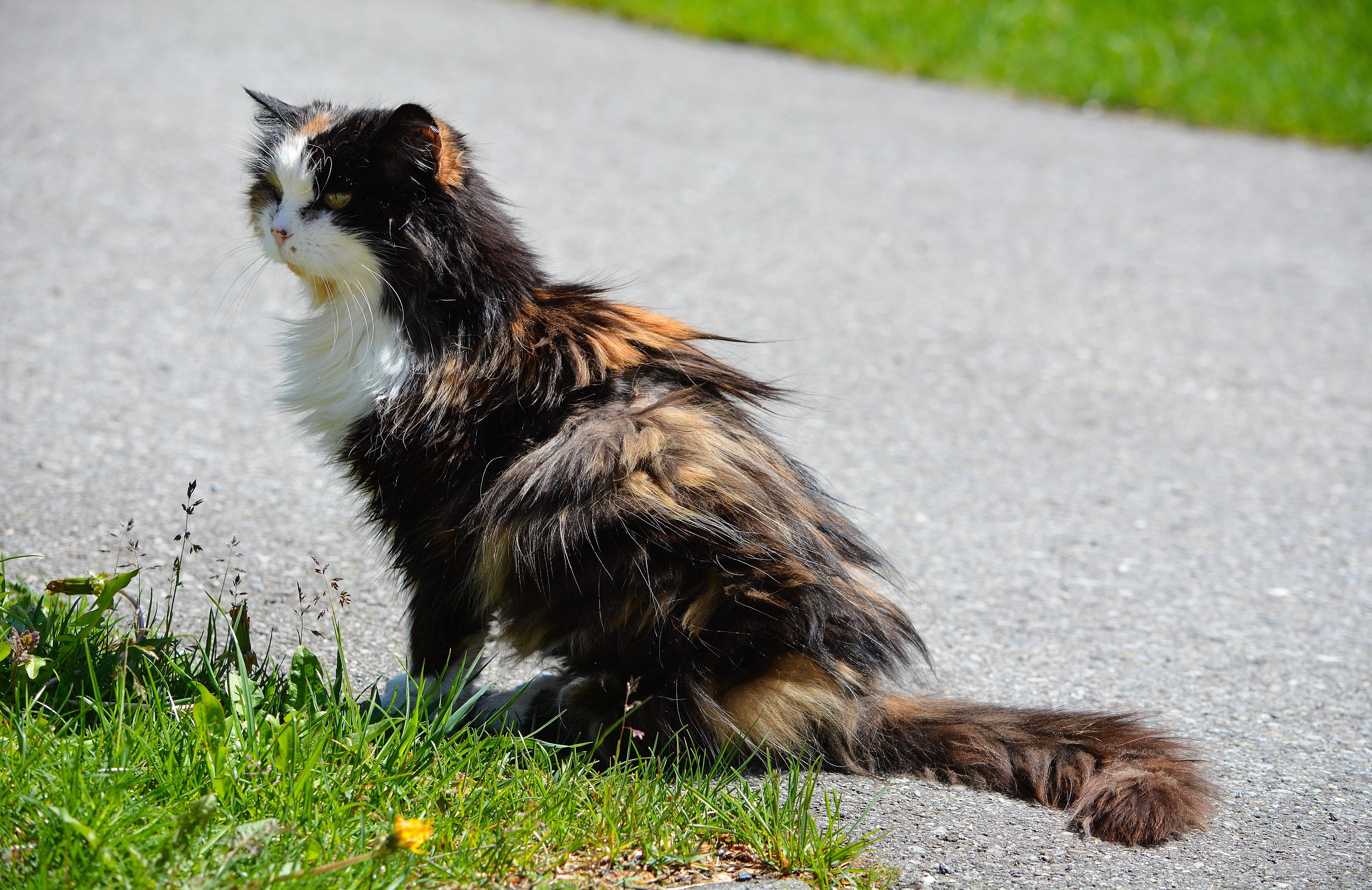 Immagini belle animale domestico fauna barba for Gatto della foresta norvegese