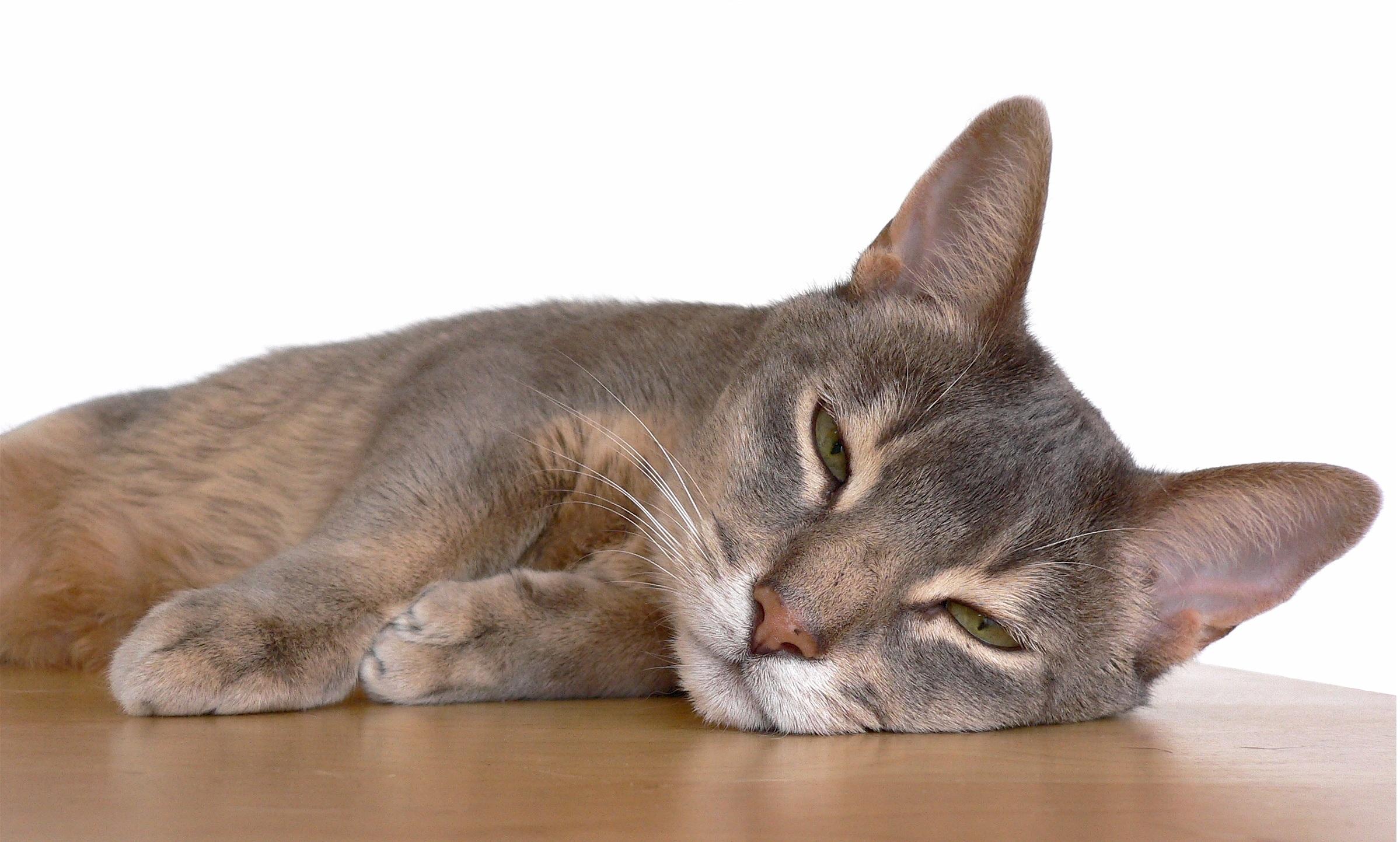 Free animal pet usa feline nose whiskers vertebrate