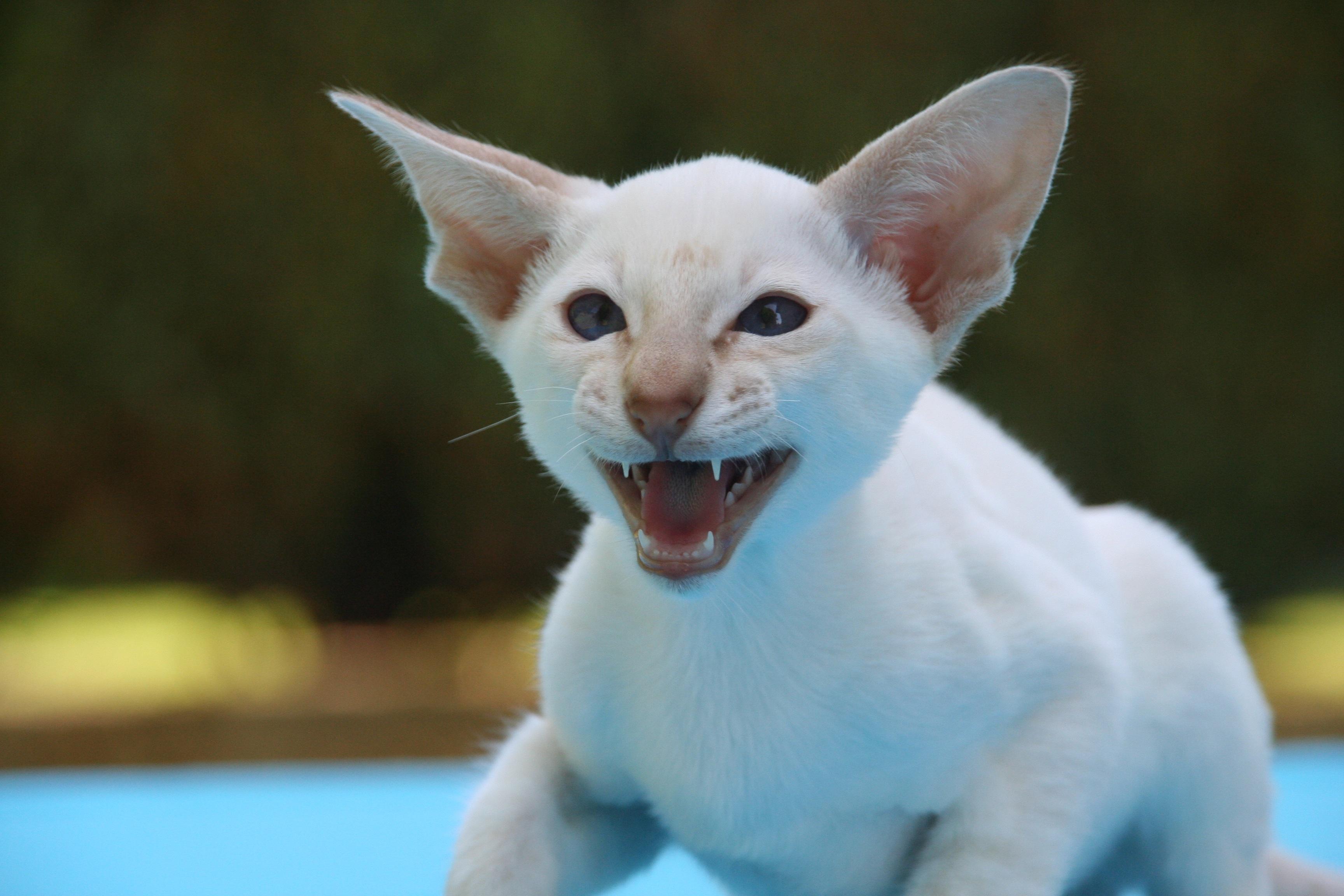 Free animal pet fur kitten thoroughbred whiskers
