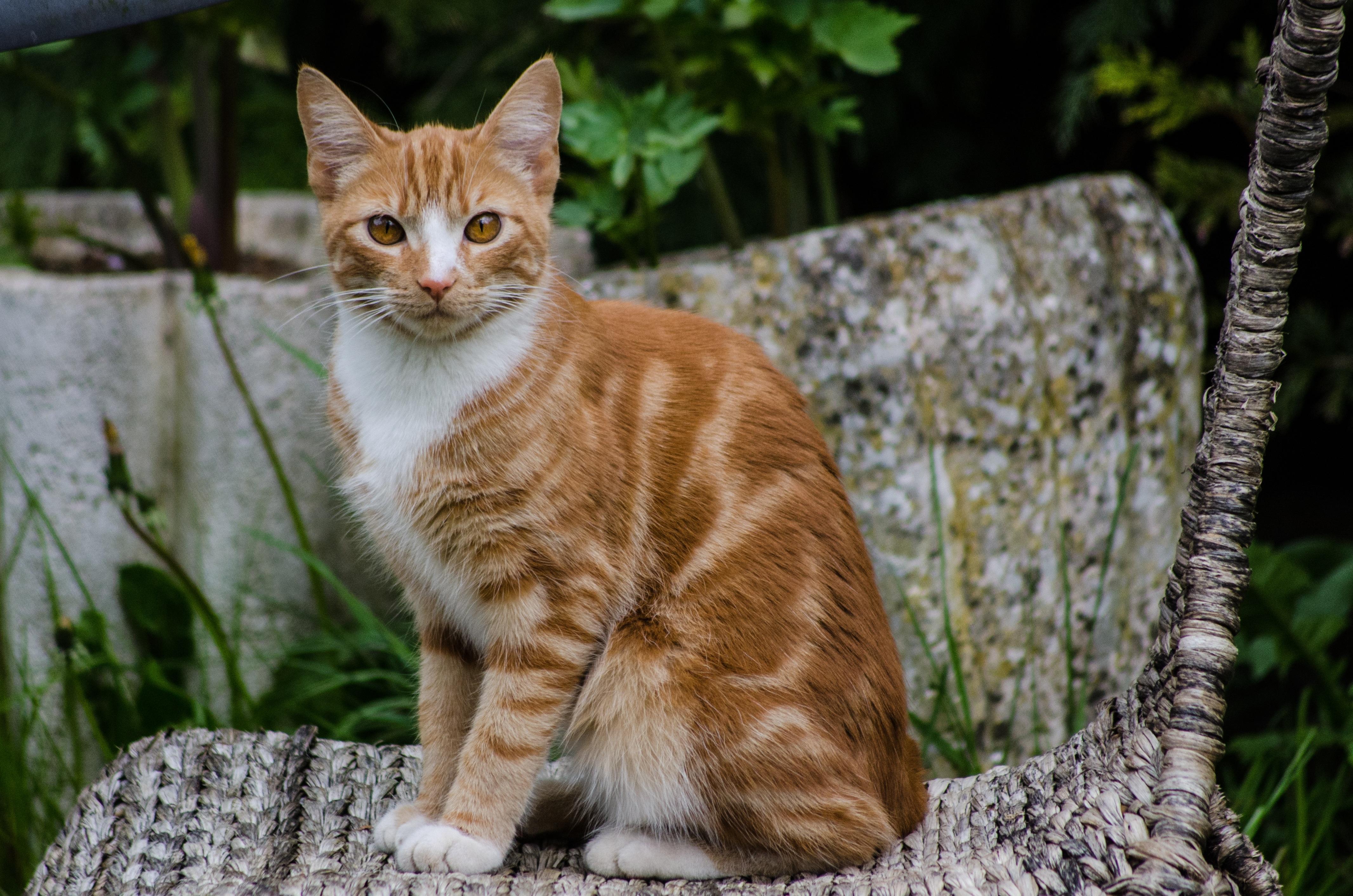 Free Images Animal Pet Fur Orange Portrait Young Red Kitten