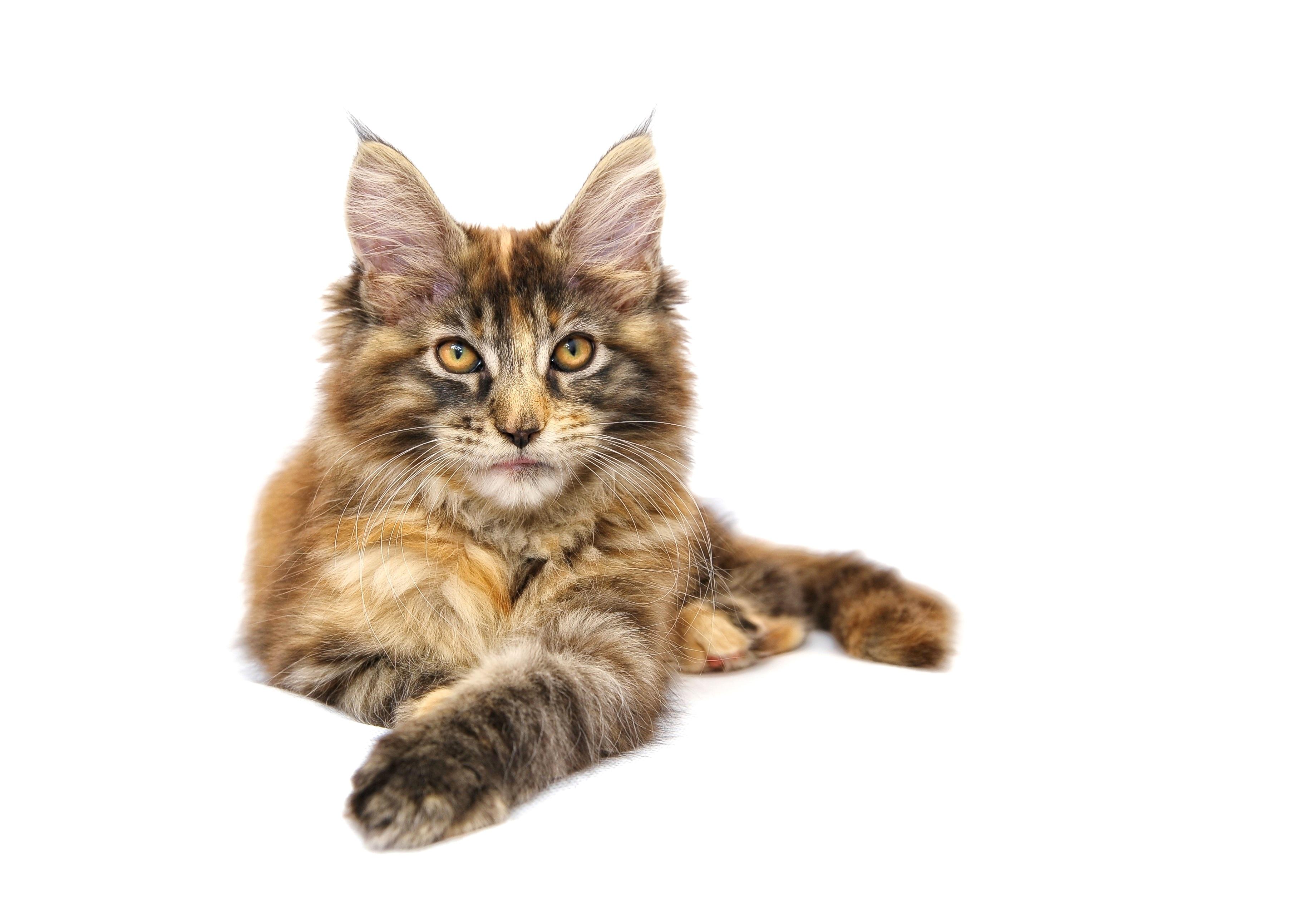Darmowe Zdjęcia Zwierzę Domowe Kotek Kręgowiec Maine Coon