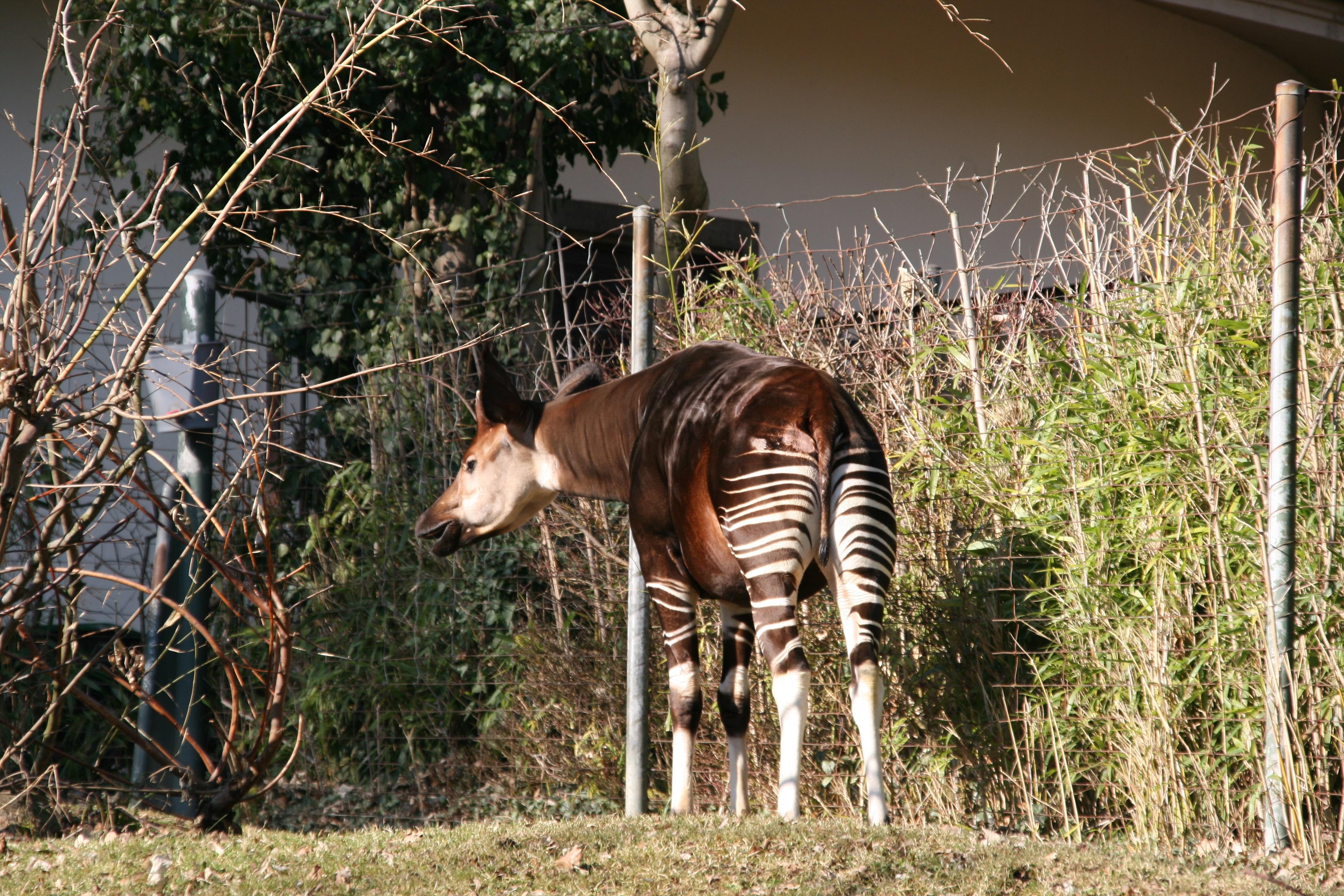 6100 Gambar Hewan Okapi Gratis Terbaru