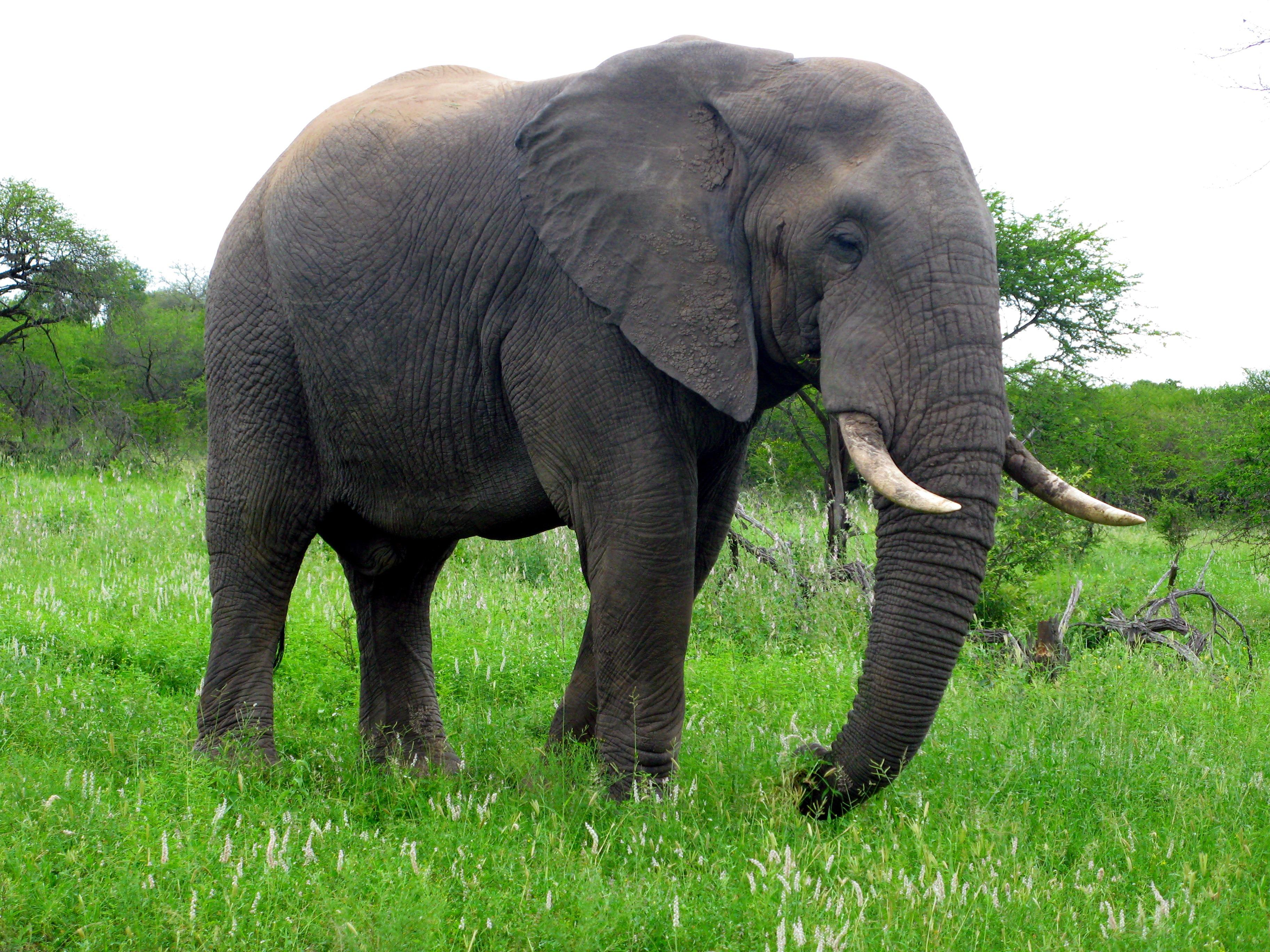 elephant animal fauna indian grassland elephants africa african mammal safari wildlife vertebrate mammoths domain pxhere