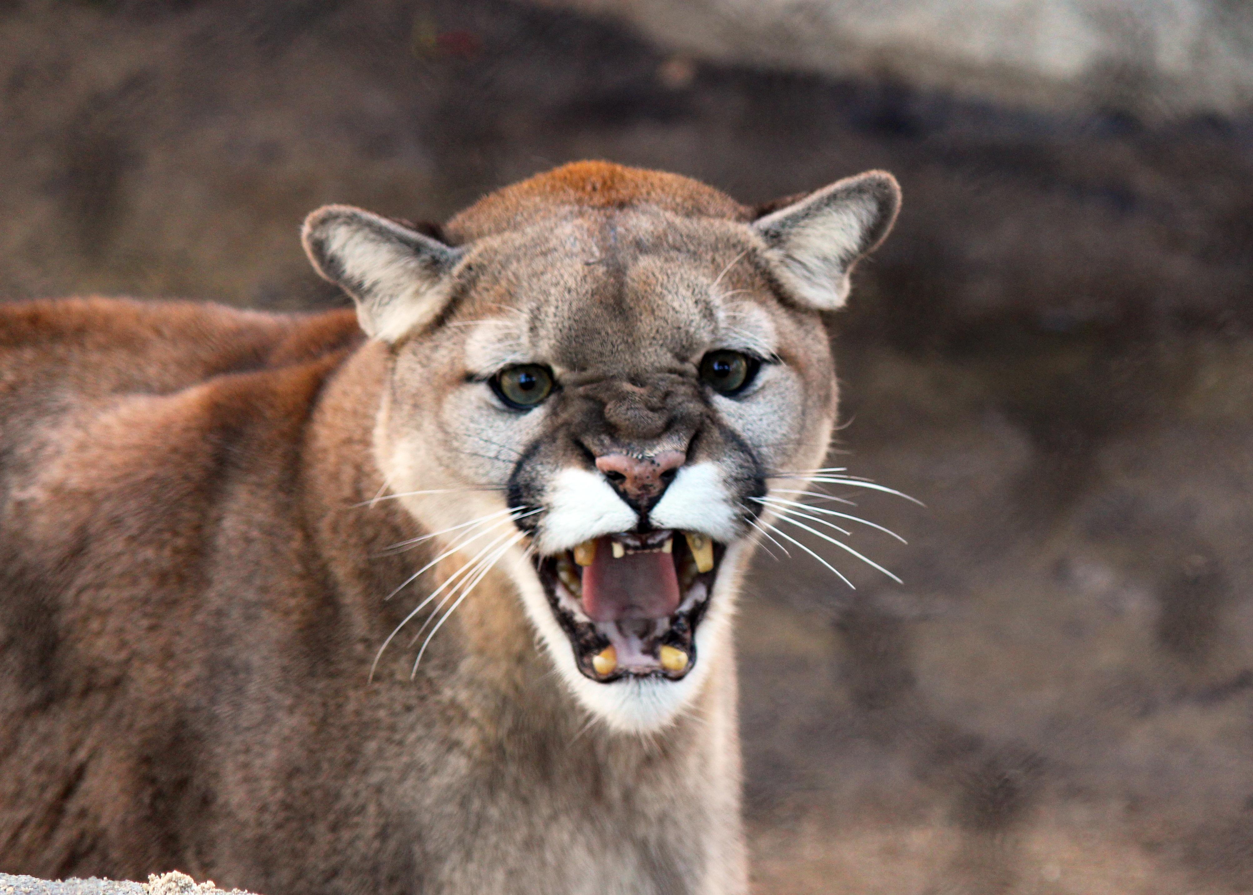 Kostenlose heiße Puma Bilder