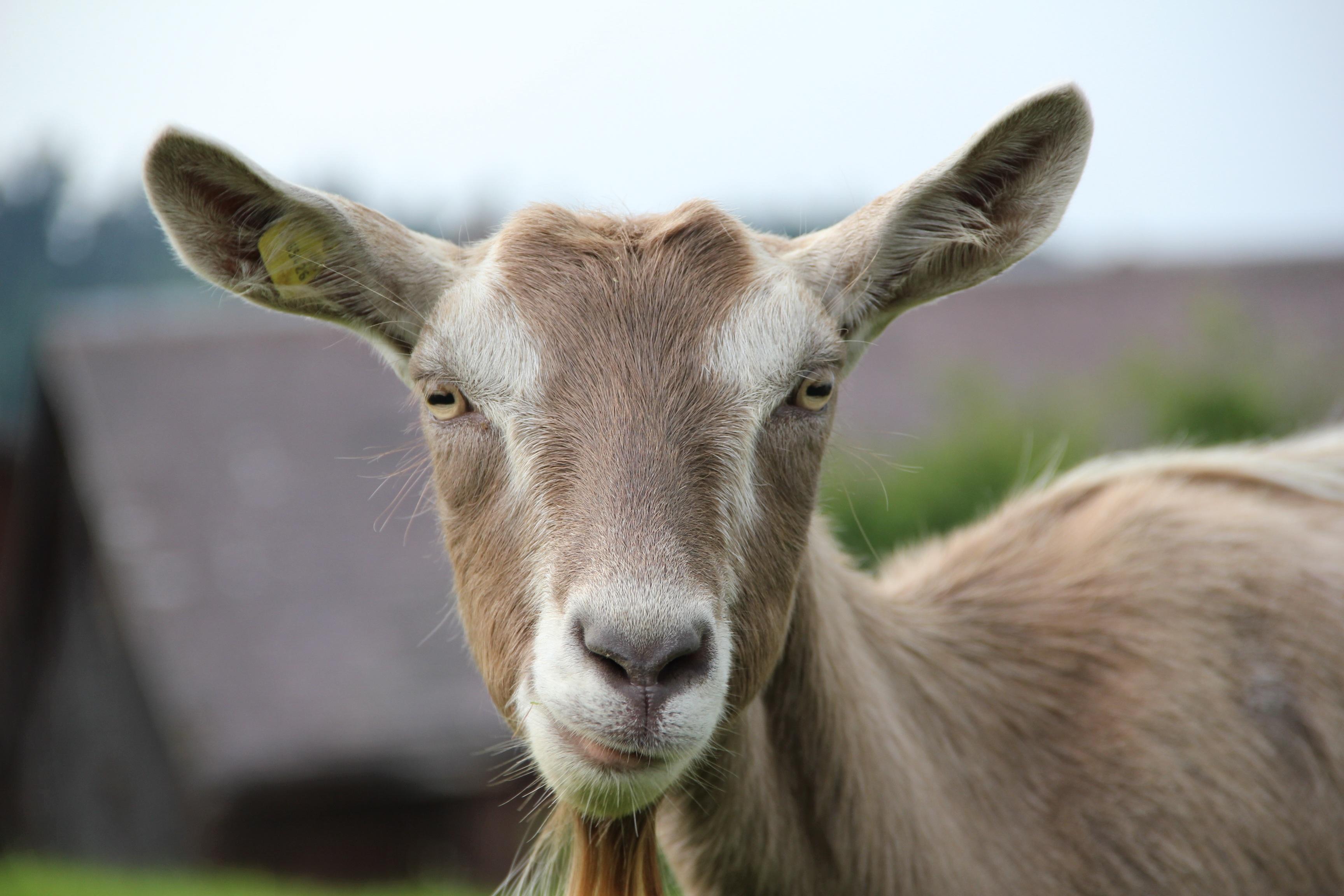 kostenlose foto tier tierwelt ziege horn weide