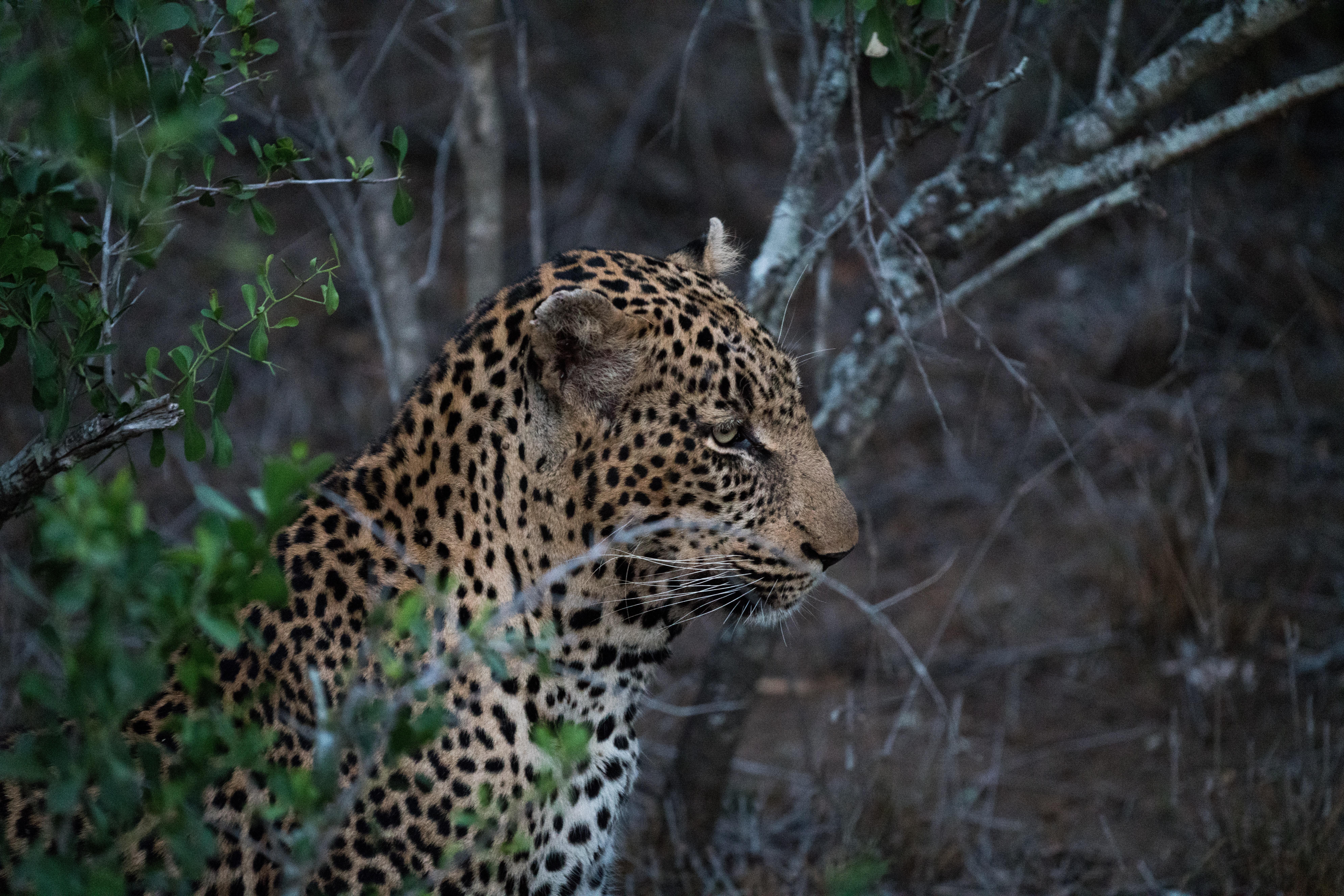 Poze Animal Animale Sălbatice Junglă Prădător Faună