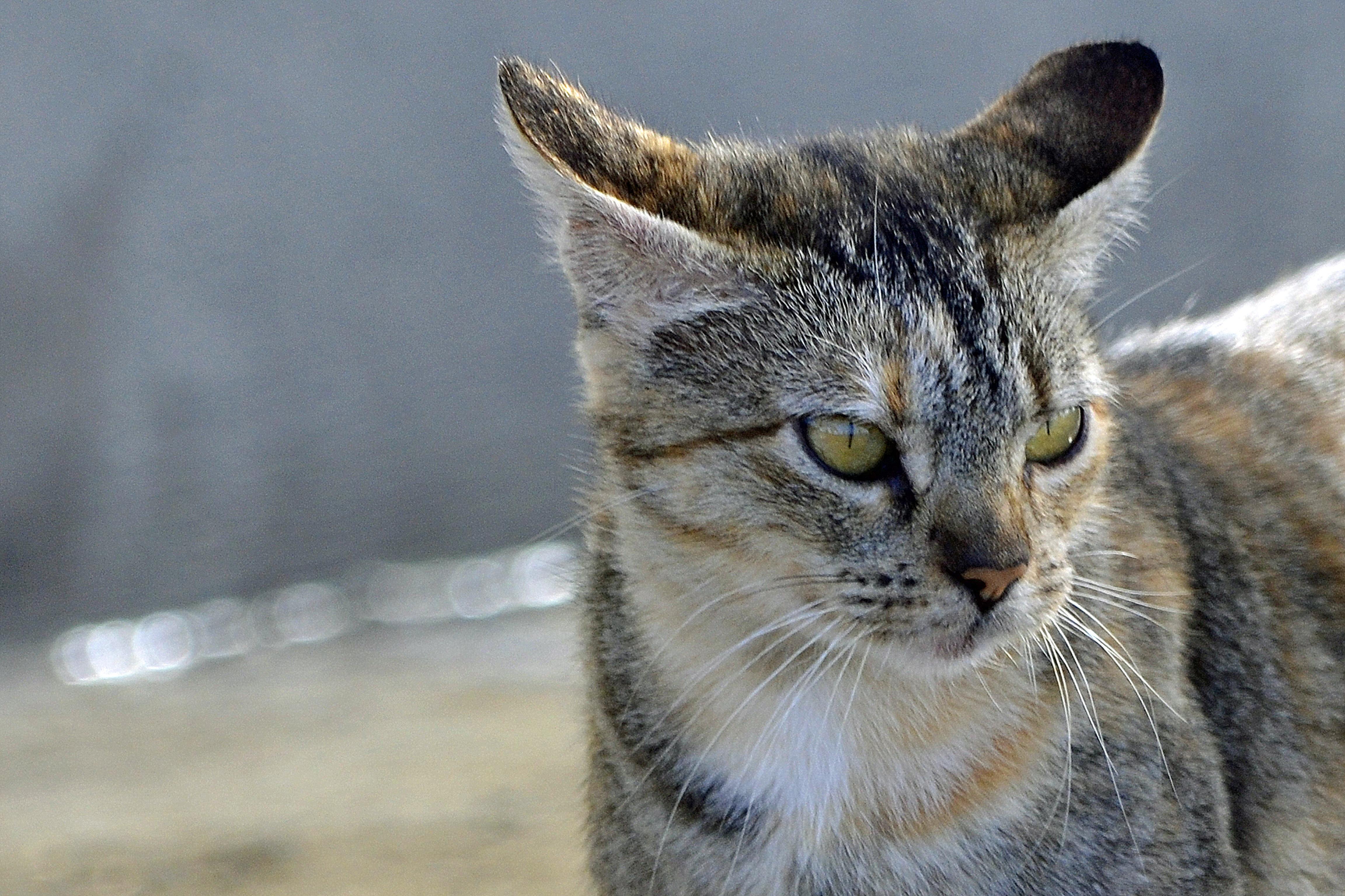 Download 76+  Gambar Kucing Dan Harimau Paling Keren