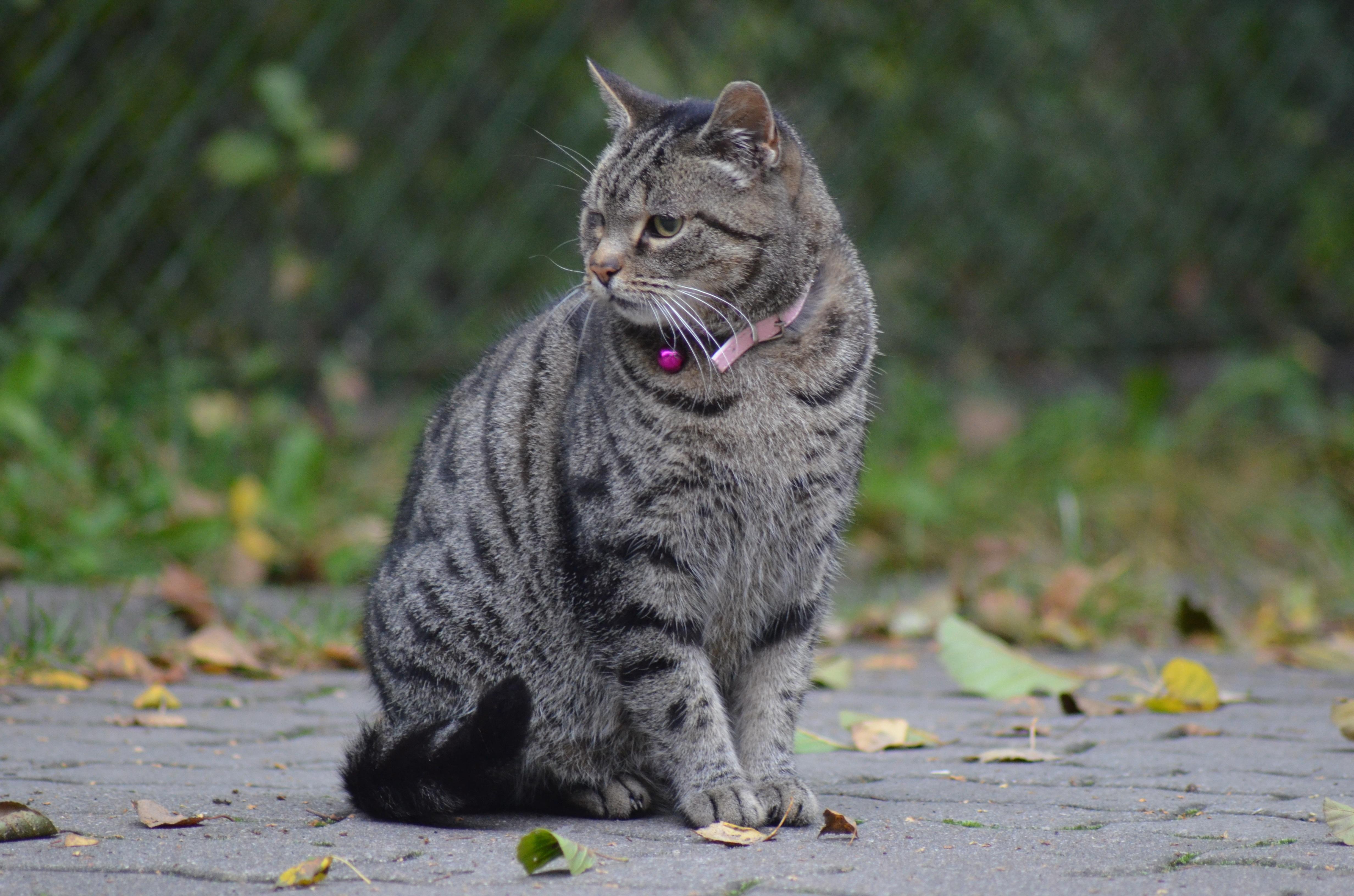 ボブキャット 値段 猫