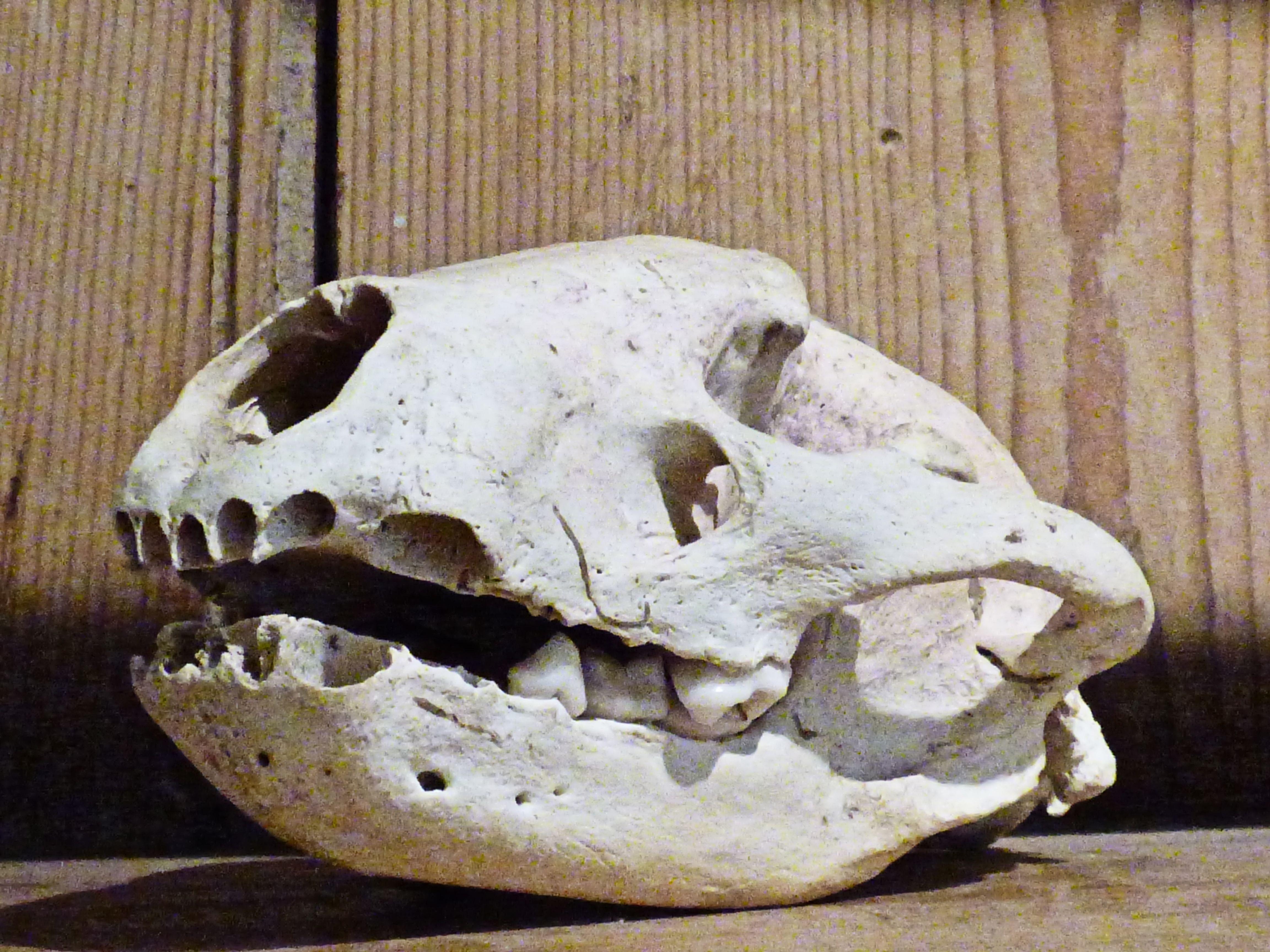 Kostenlose foto : Tier, Tierwelt, natürlich, tot, Schädel, Knochen ...