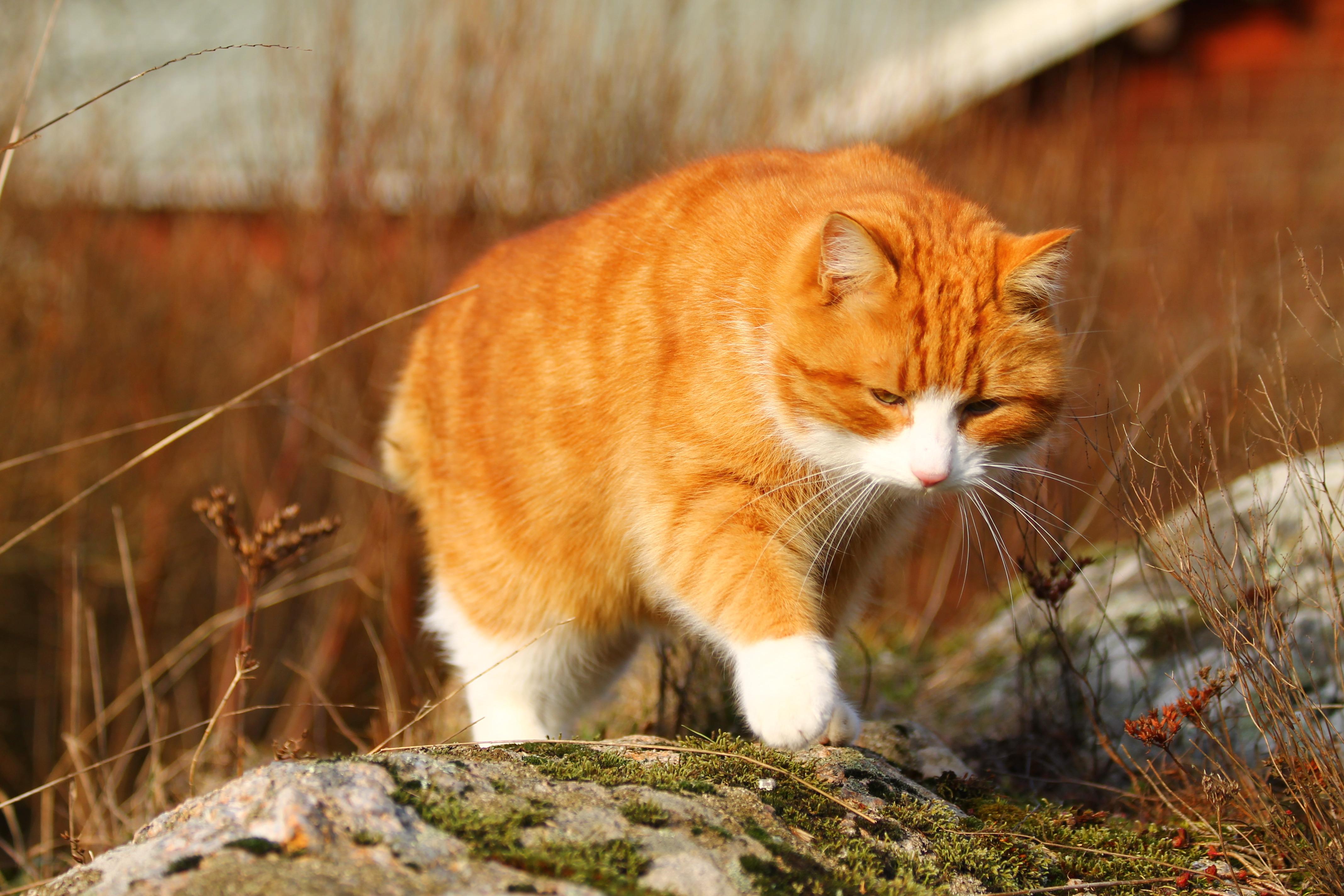природа животные рыжий кот  № 941076  скачать