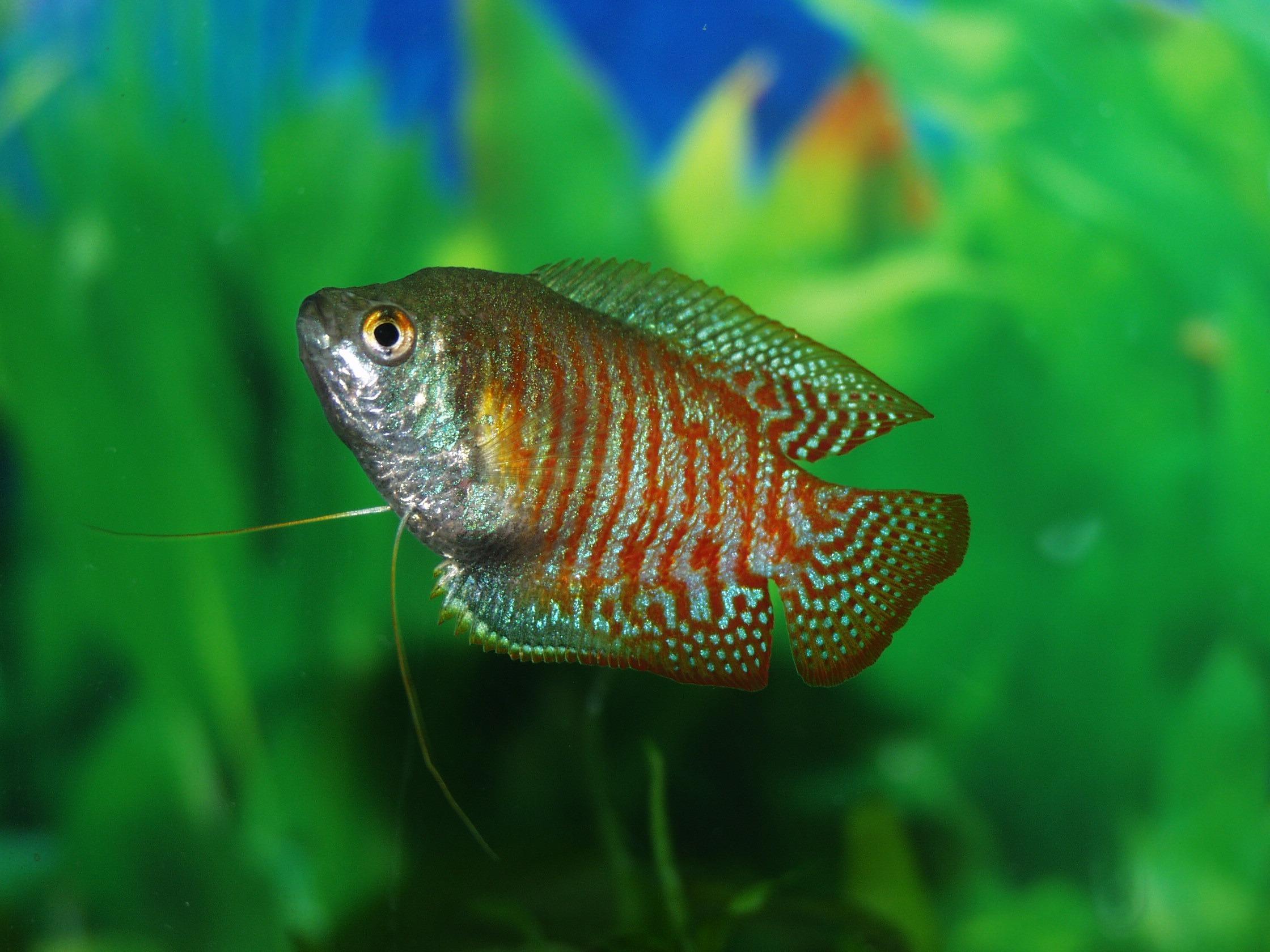 Free images animal wildlife underwater green for Best freshwater aquarium fish combination