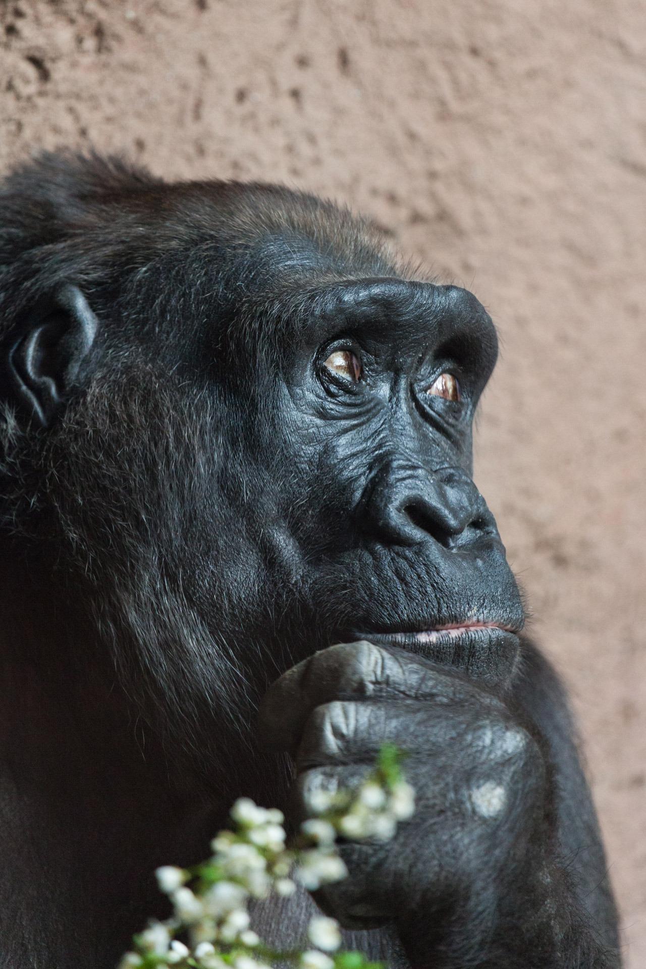 free images animal wildlife wild thinking zoo africa think