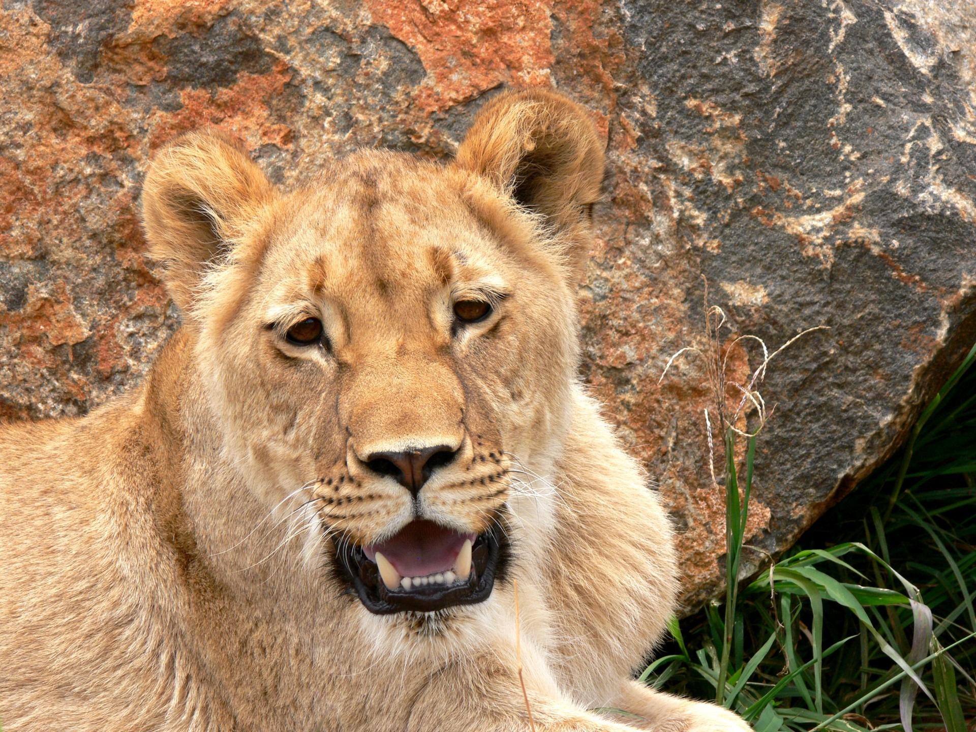 puma tier afrika