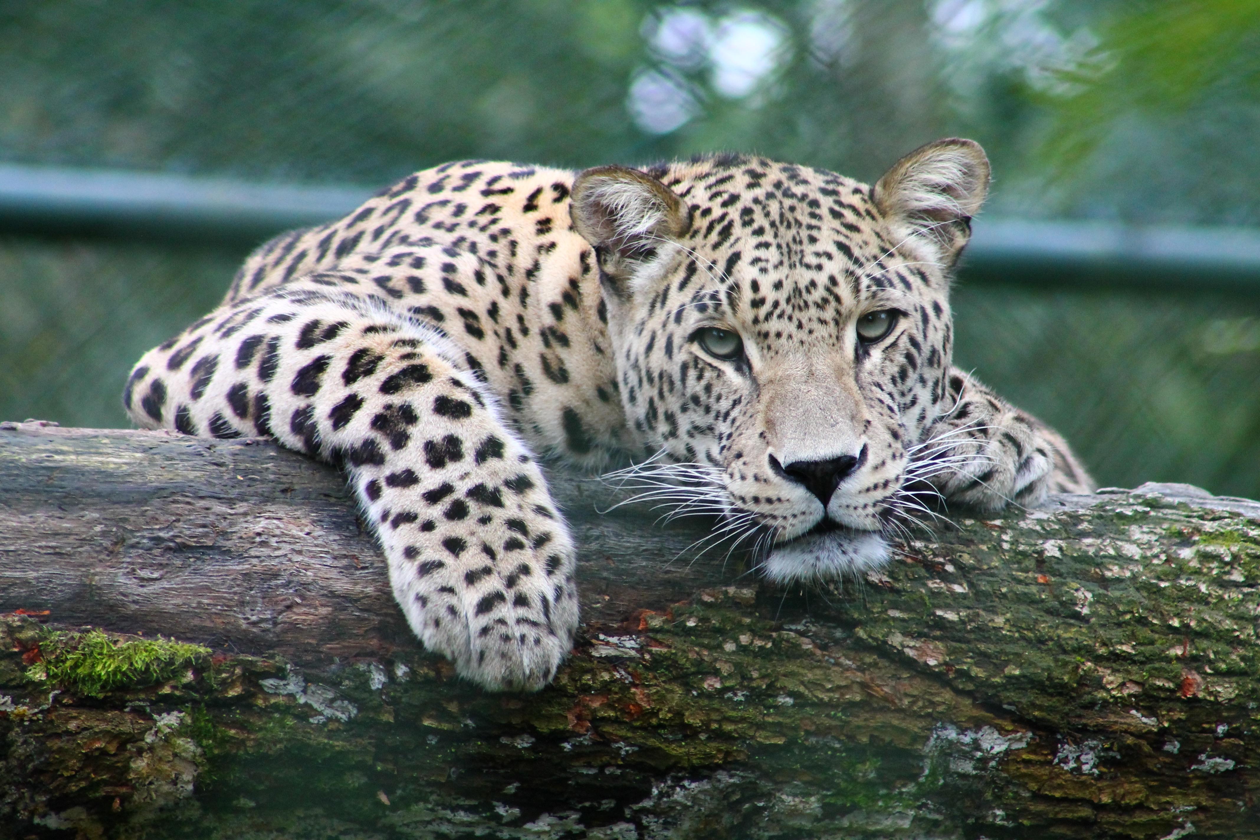 Animal Wildlife Wild Zoo Cat Mammal Fauna Leopard Vertebrate Jaguar Cats Like