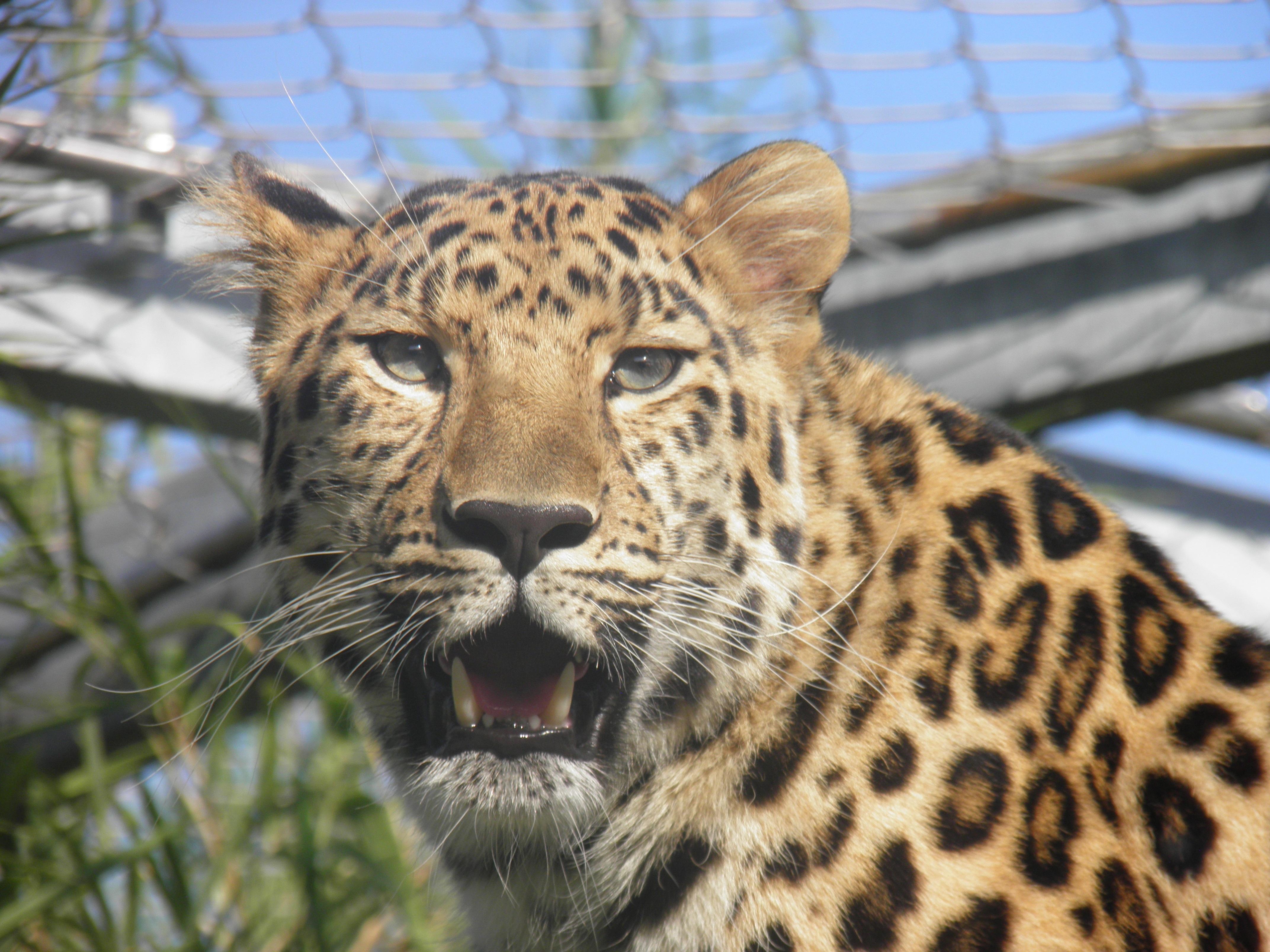 Images gratuites faune zoo f lin pr dateur l opard - Images d animaux sauvages gratuites ...