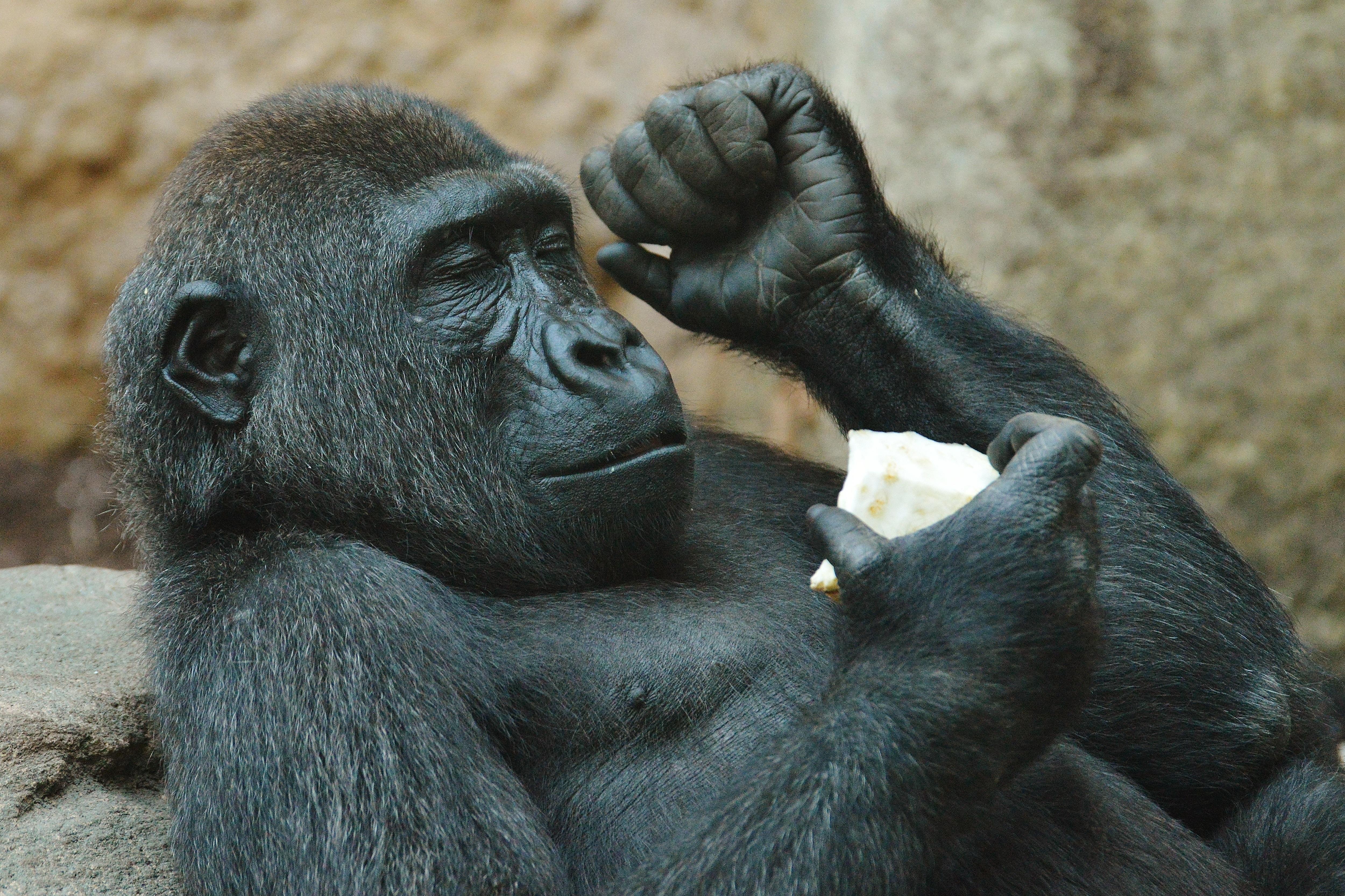 hình ảnh : thú vật, Động vật hoang dã, vườn bách thú, Động vật có vú, con khỉ, ăn, Động vật, Linh trưởng, con khỉ đột, Tinh tinh, động vật hoang da, ...