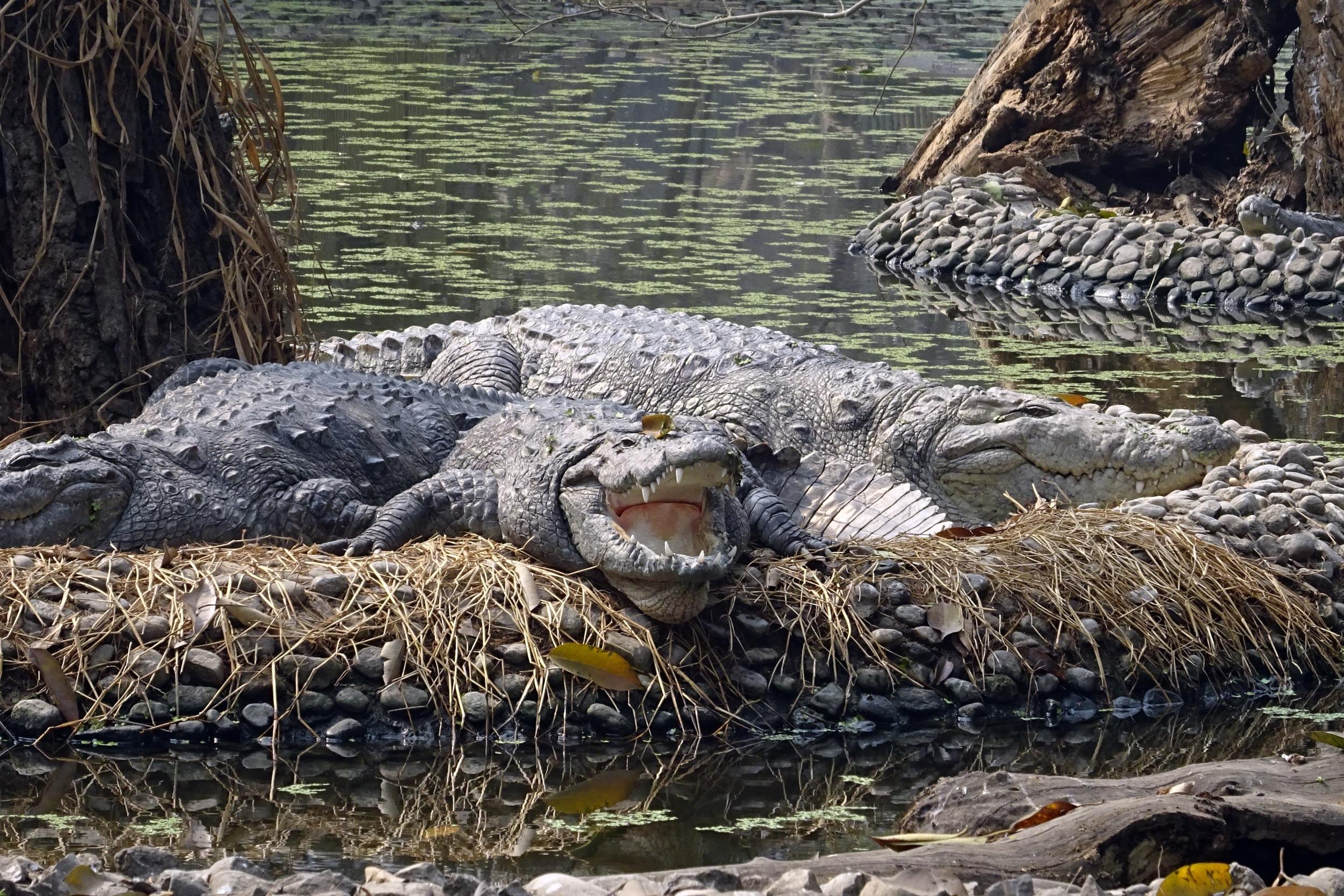 free images animal wildlife zoo reptile fauna alligator